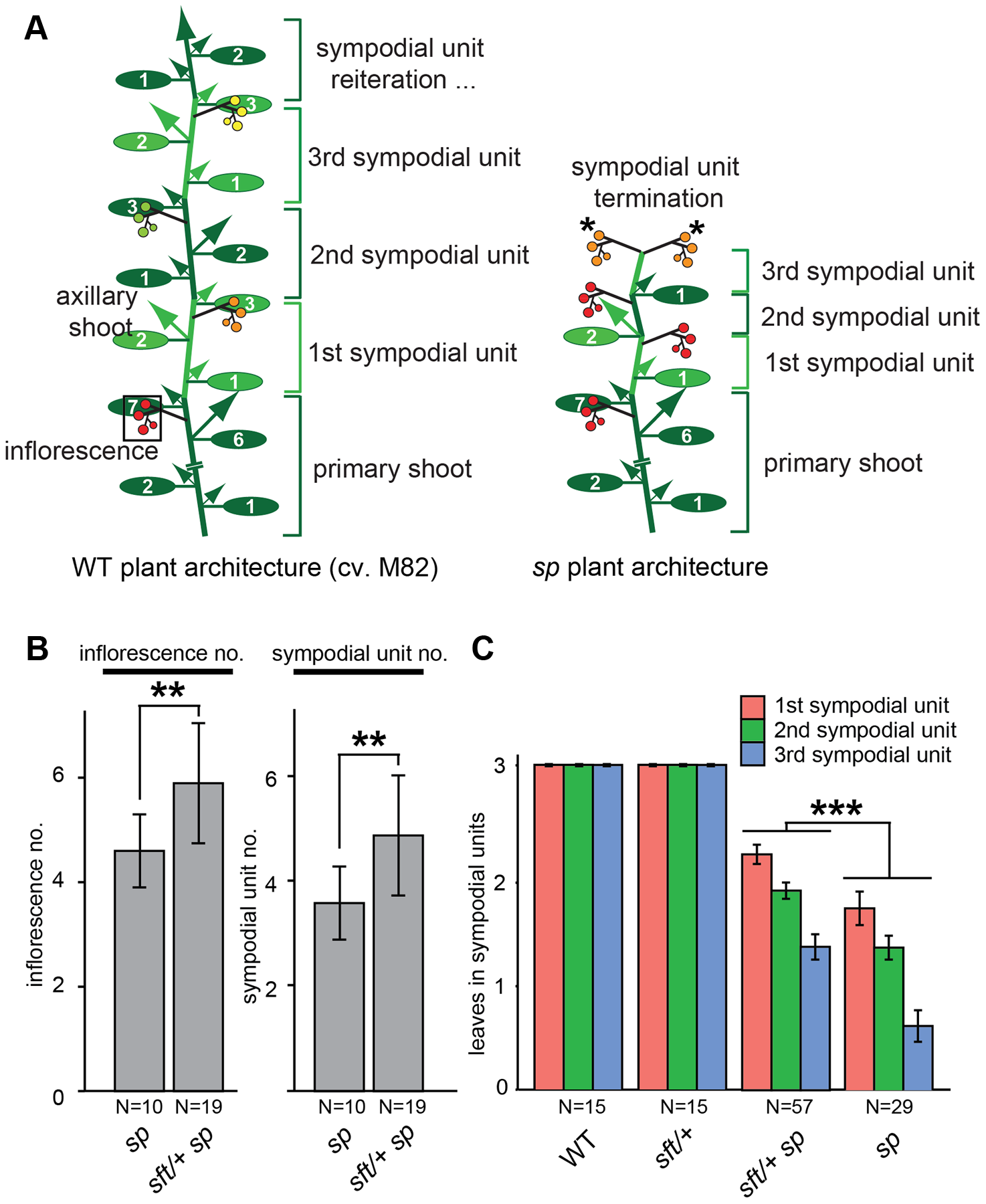 Precocious shoot termination in determinate tomatoes is partially suppressed by <i>sft/</i>