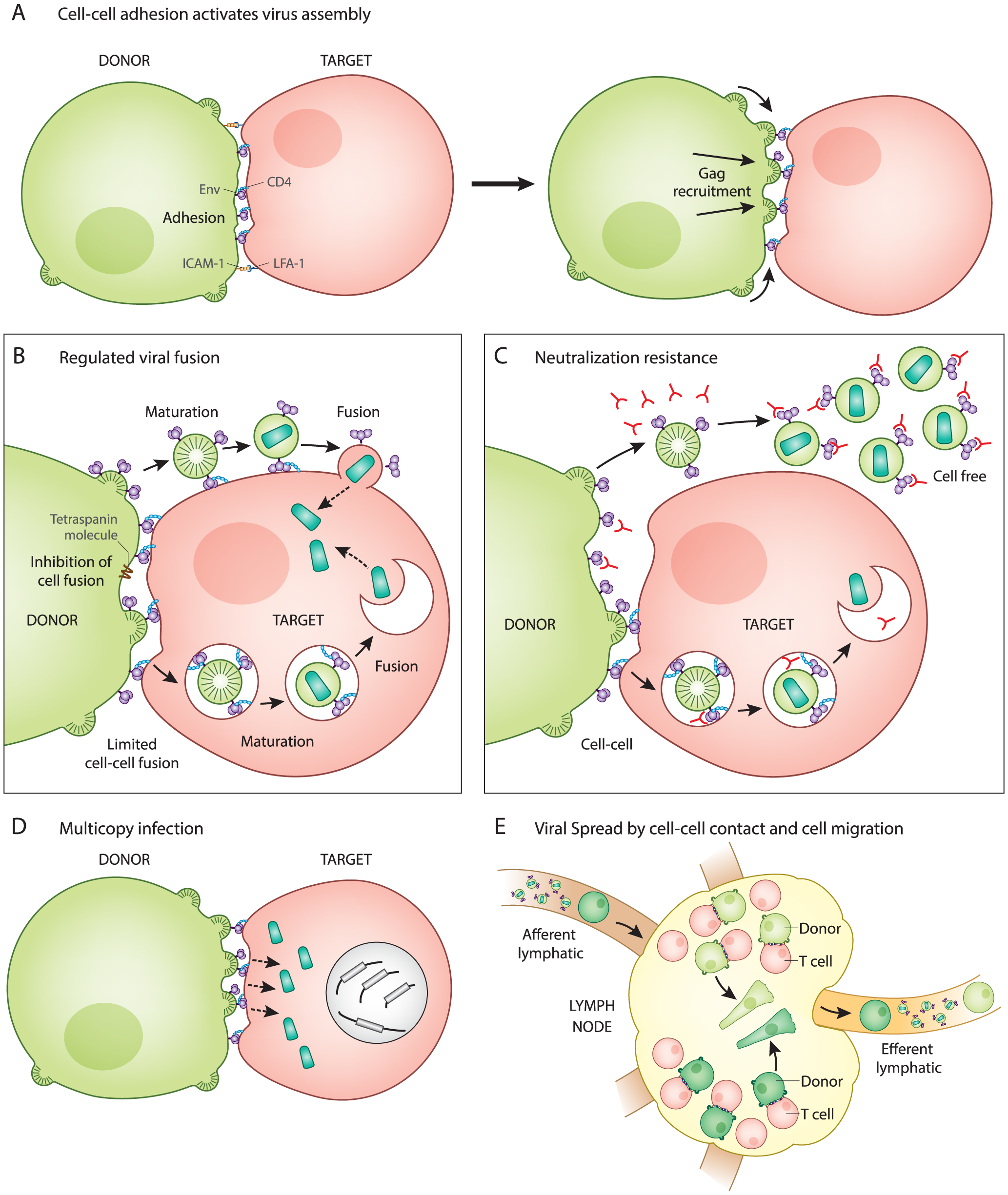 Five unique features of HIV-1 transmission through virological synapses.
