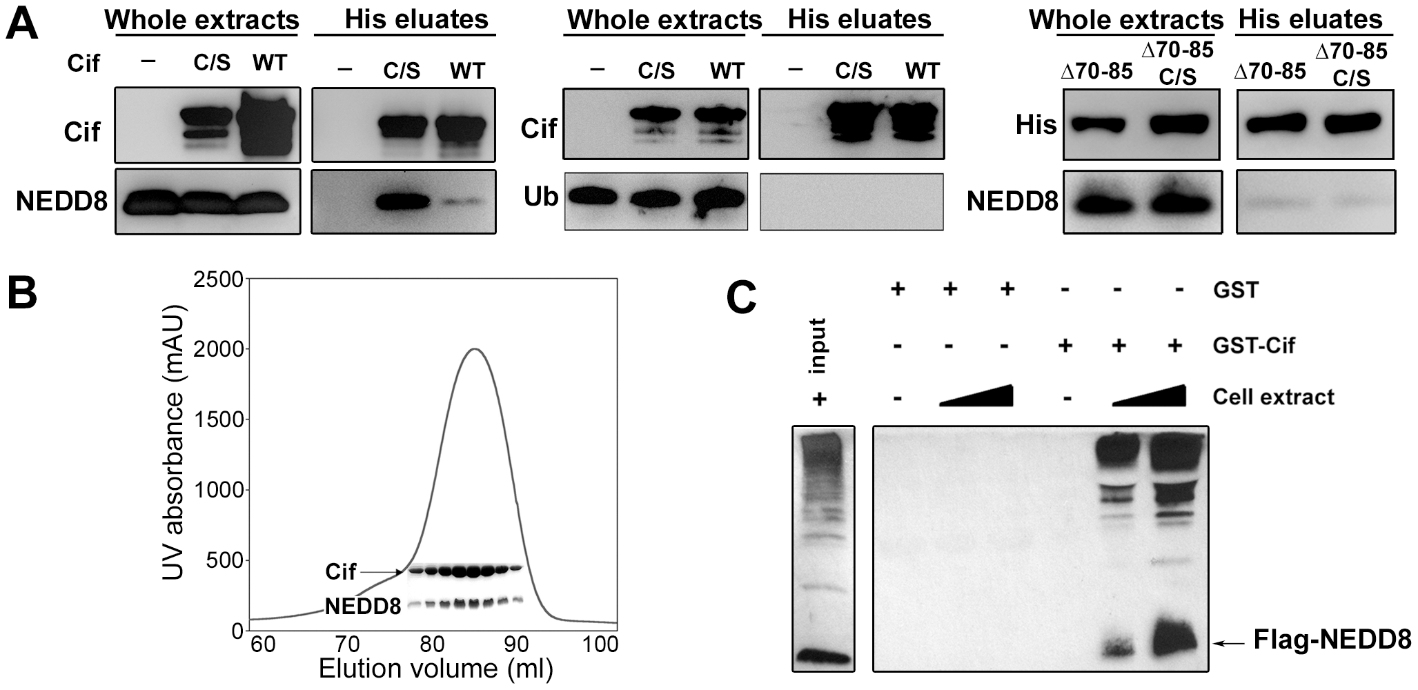 Cif interacts <i>in vitro</i> with the ubiquitin-like protein NEDD8.