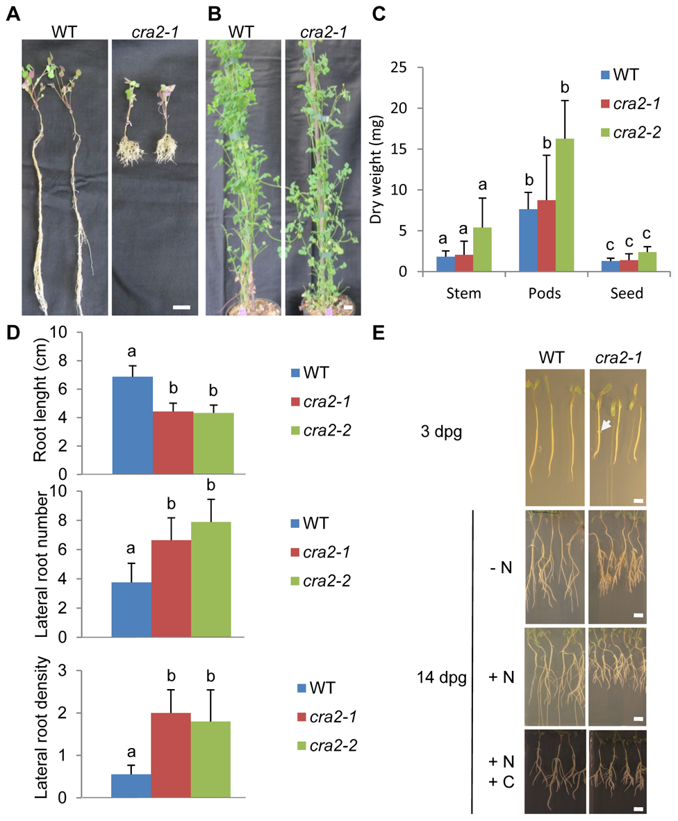 "The ""<i>compact root architecture 2</i>"" (<i>cra2</i>) mutants have short roots and more lateral roots independently of the growth conditions."