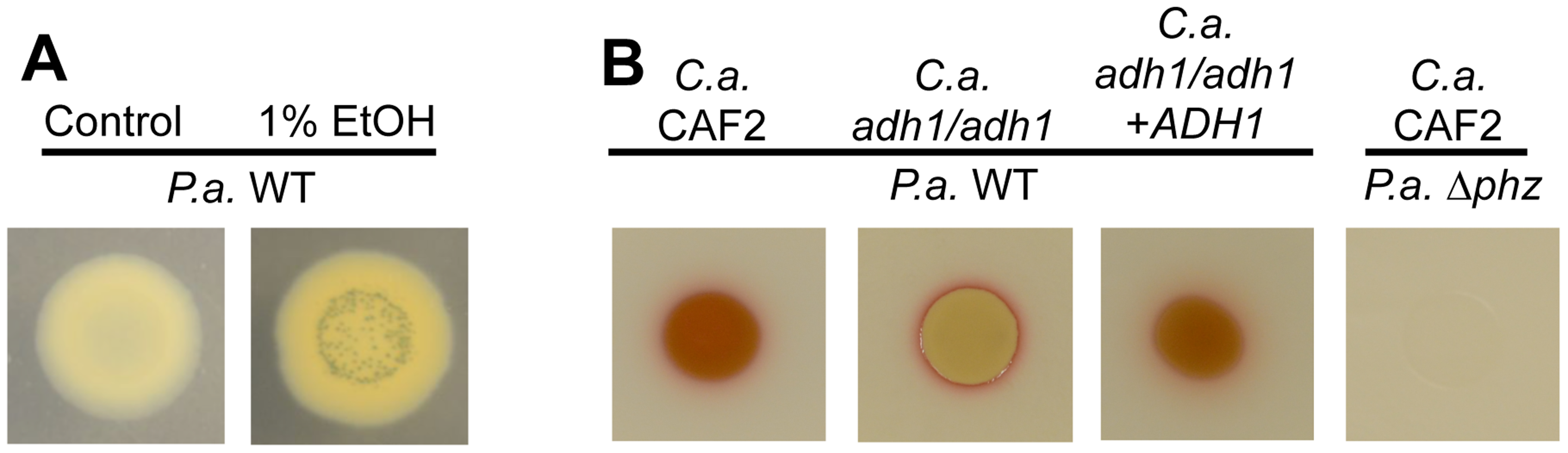 Ethanol leads to higher levels of PCN crystal formation and 5MPCA derivatives.