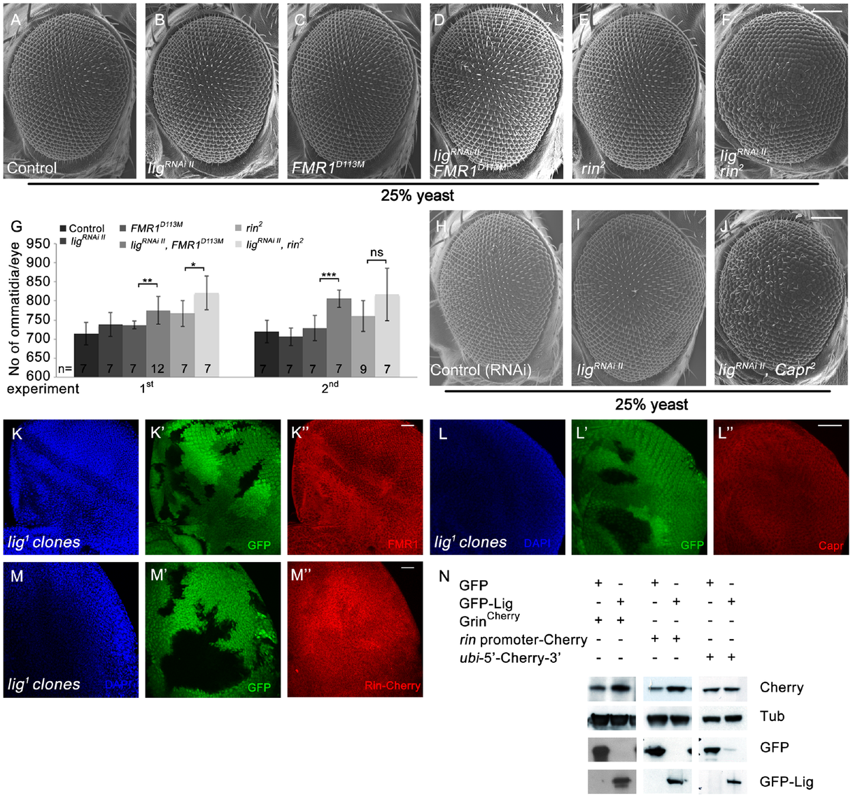 Lig cooperates with FMR1, Rin and Capr in growth control and regulates <i>rin</i> at the transcriptional level.