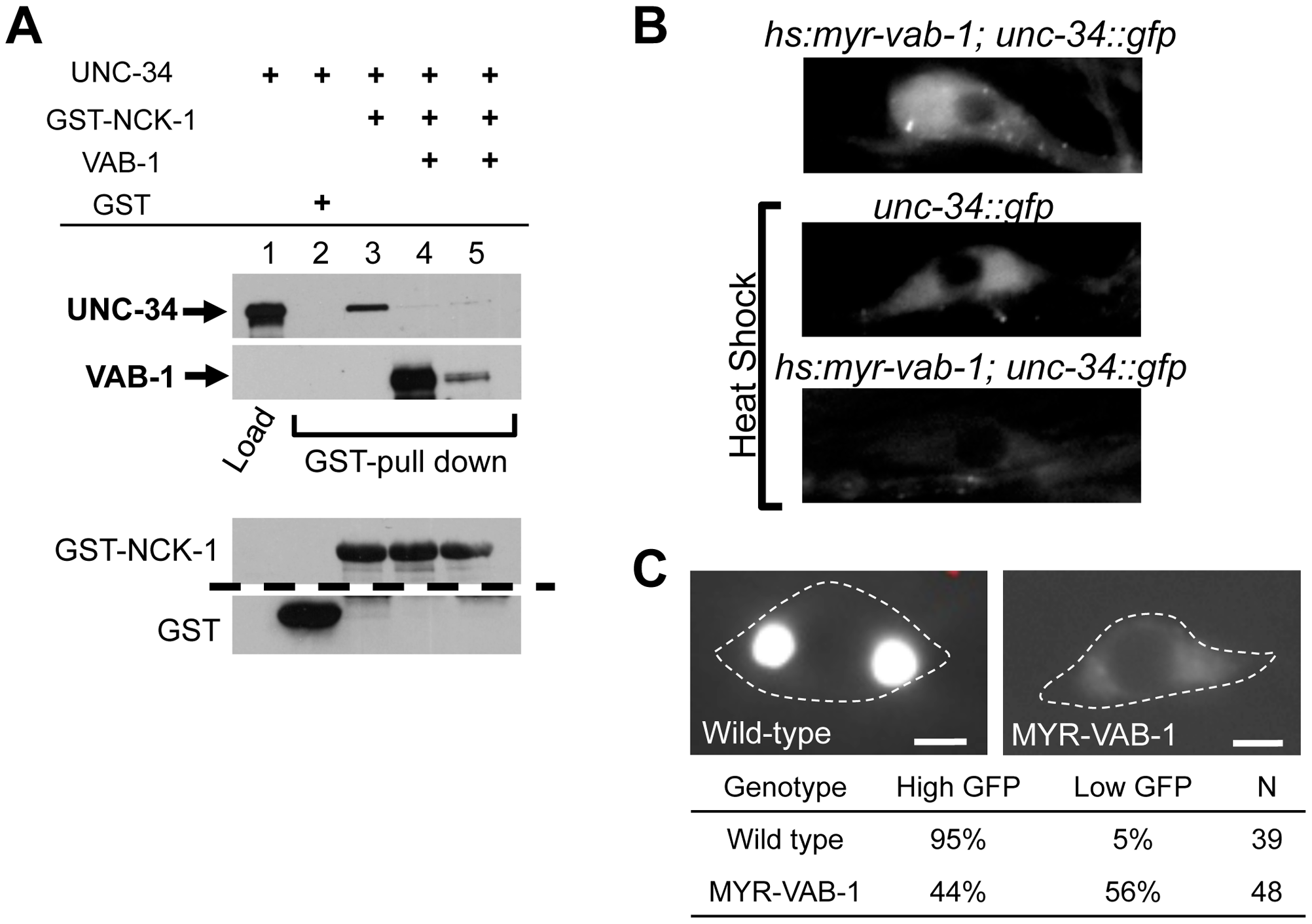 VAB-1 inhibits the UNC-34/NCK-1 complex and negatively regulates UNC-34 protein levels.