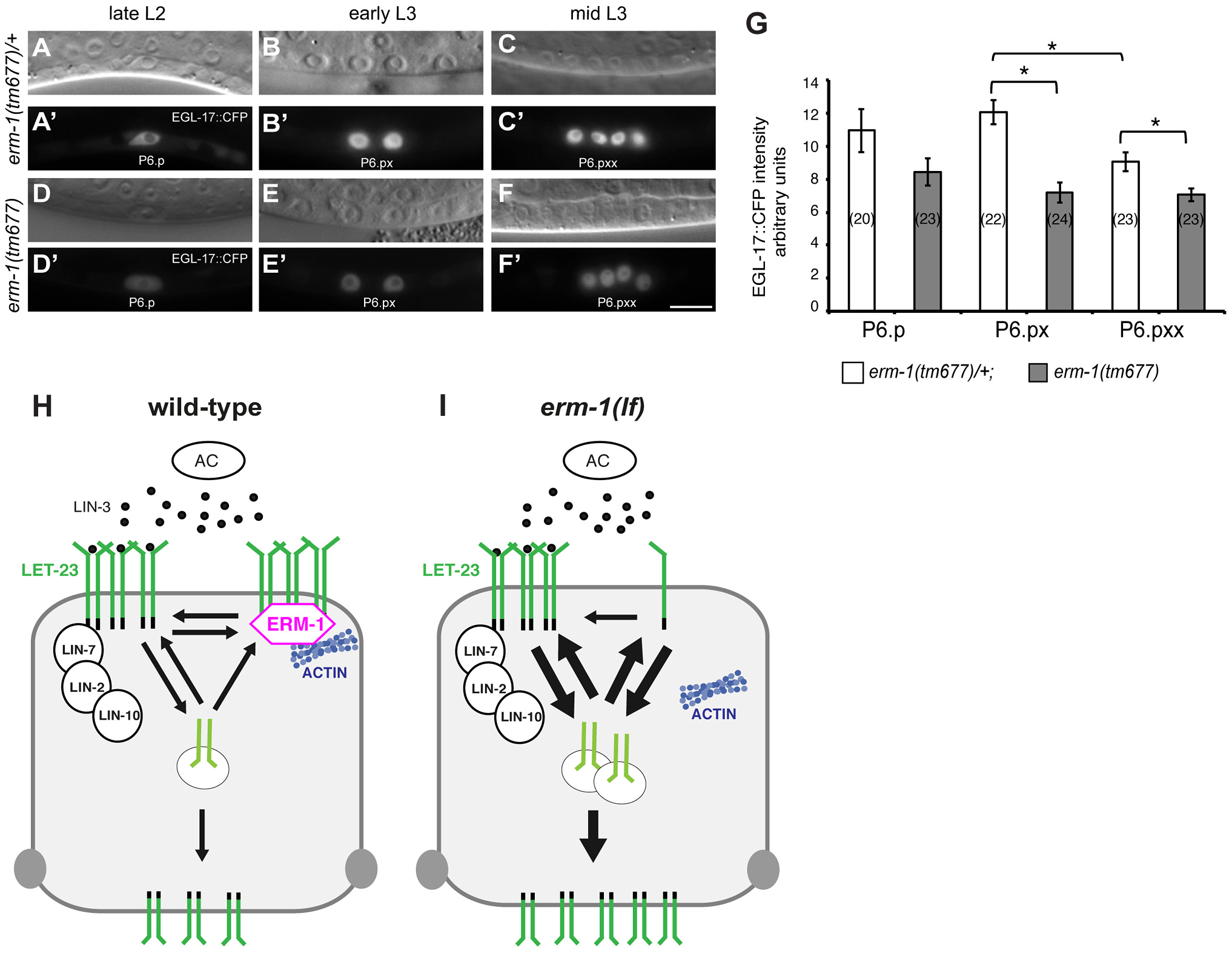 Temporal regulation of LET-23 EGFR signaling by ERM-1.
