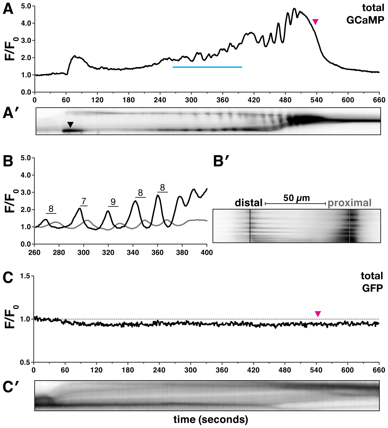 Oocyte entry into the spermatheca triggers calcium oscillations.