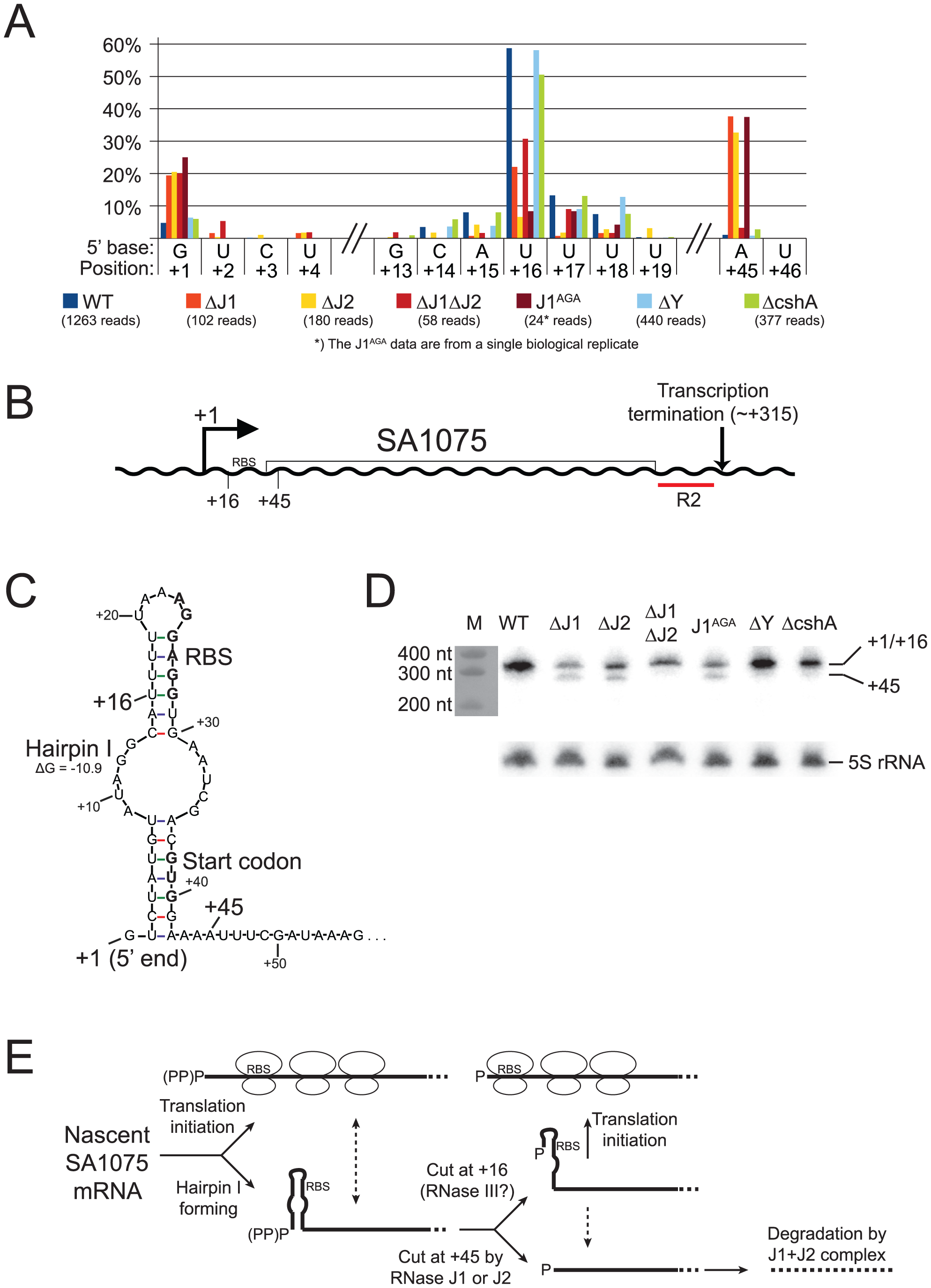SA1075 mRNA inactivation by RNase J competes with translation initiation.