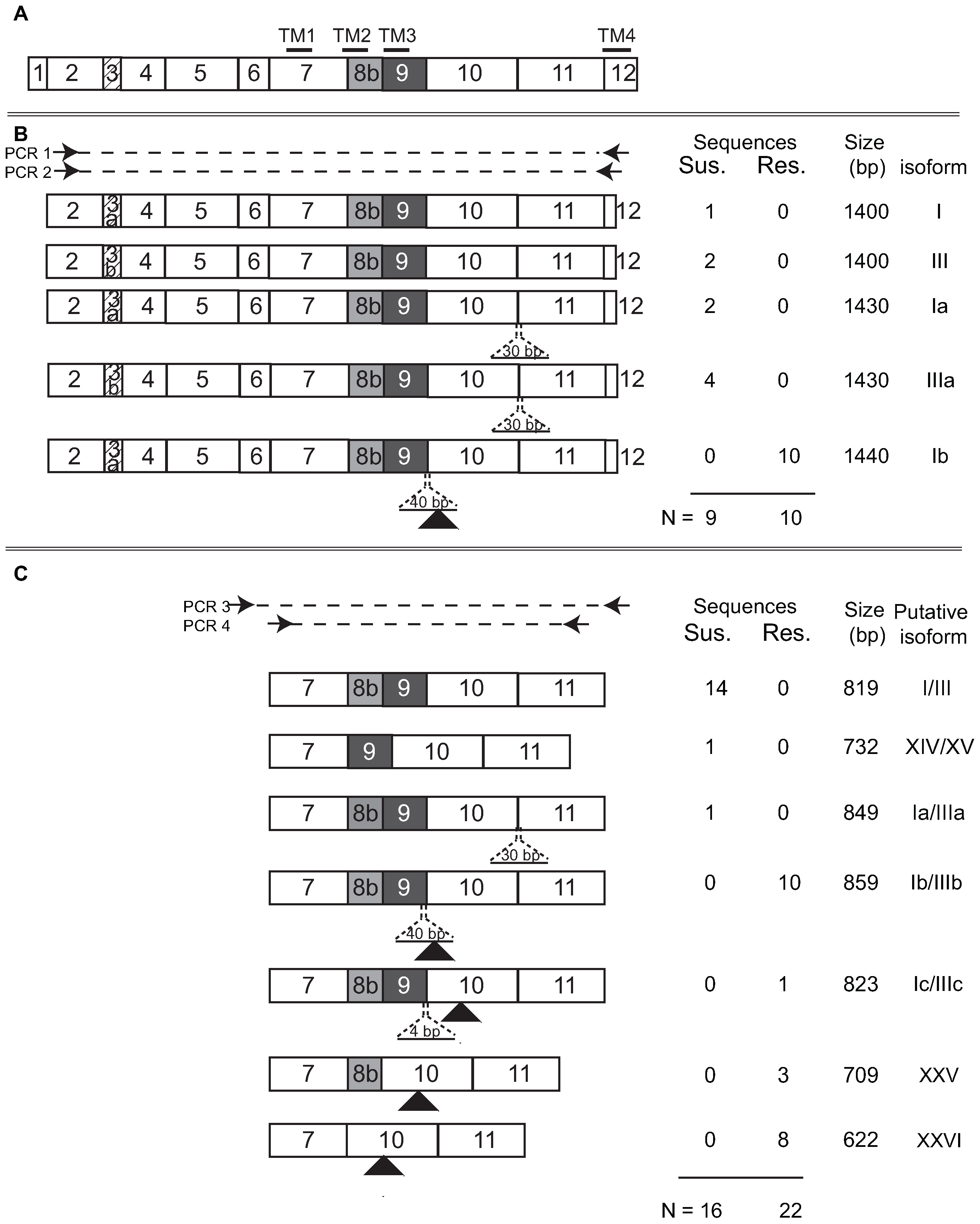 Summary of nAChR Pxα6 splice variation in resistant and susceptible <i>Plutella xylostella</i> larvae.