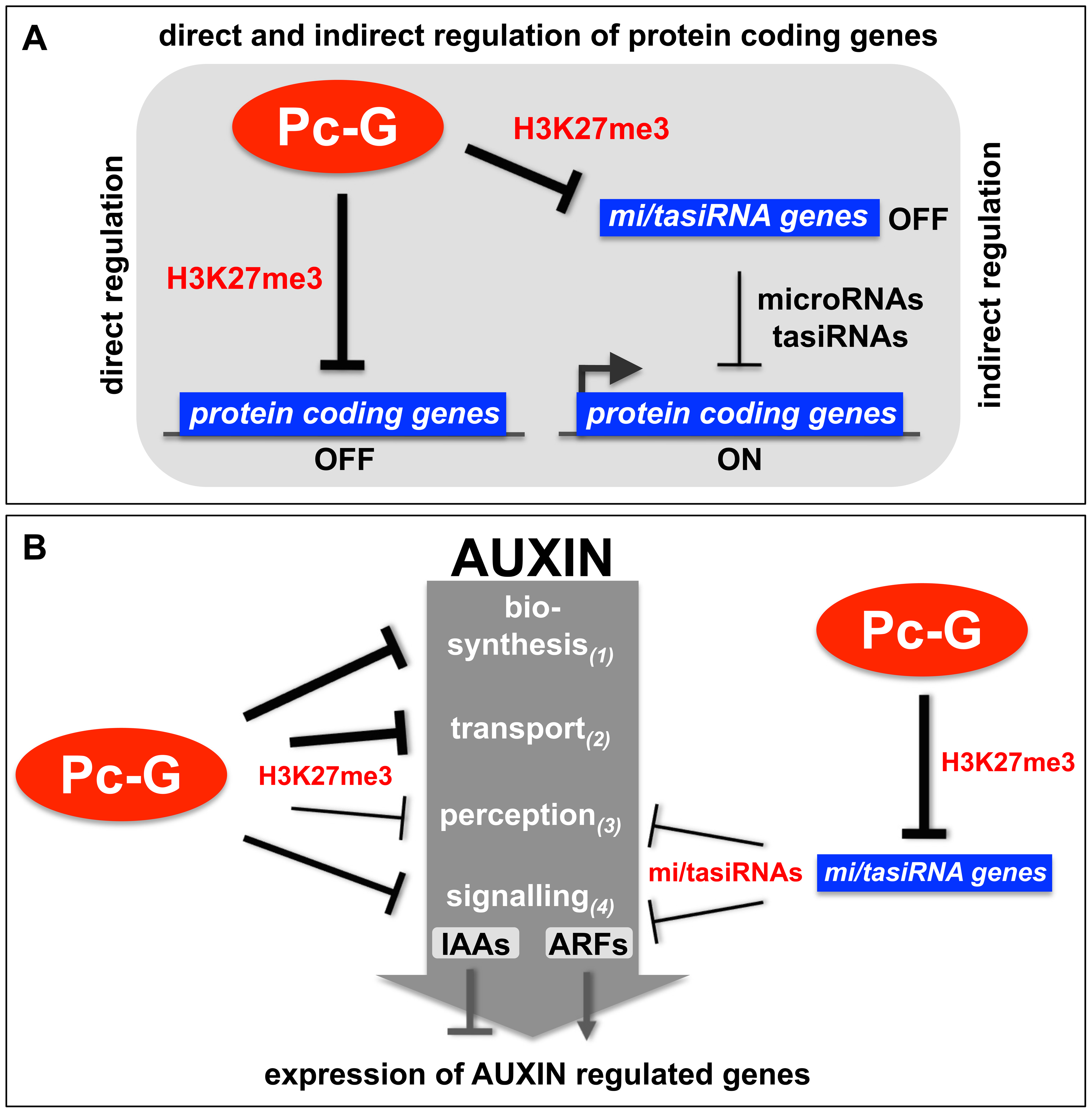 Models of the H3K27me3-mediated regulation of protein coding genes and auxin signaling.