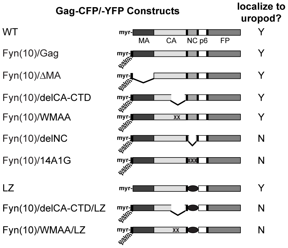 Gag derivatives used in this study and their localization pattern.