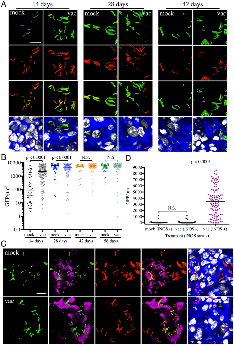 Differences in expression of <i>hspX</i>′::GFP in Mtb present in vaccinated versus mock-treated mice.