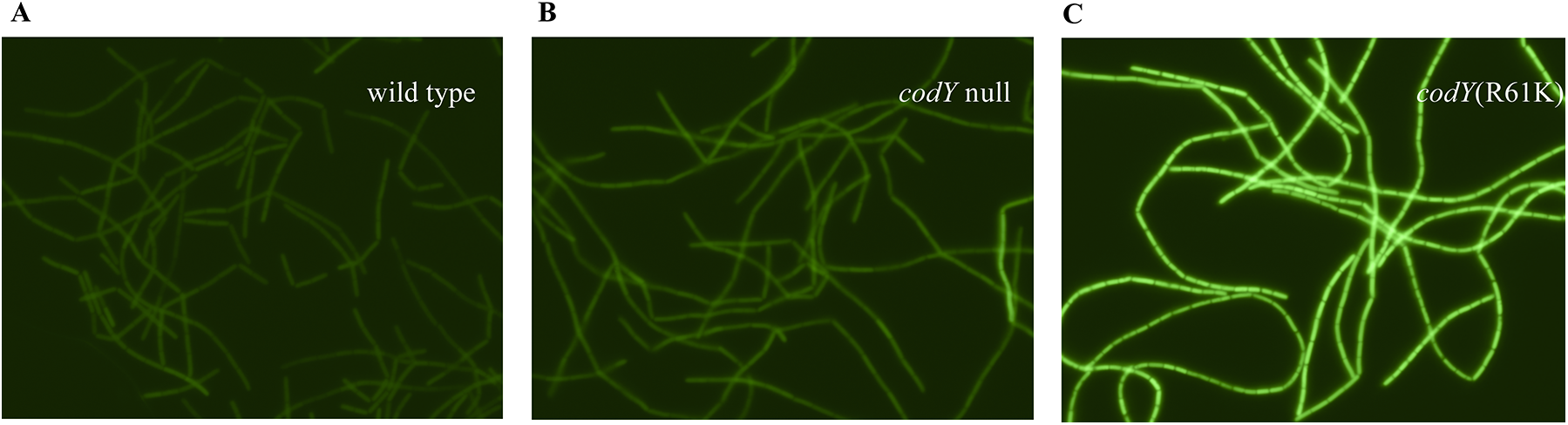 Expression of the <i>braB242-gfp</i> fusion in individual cells.