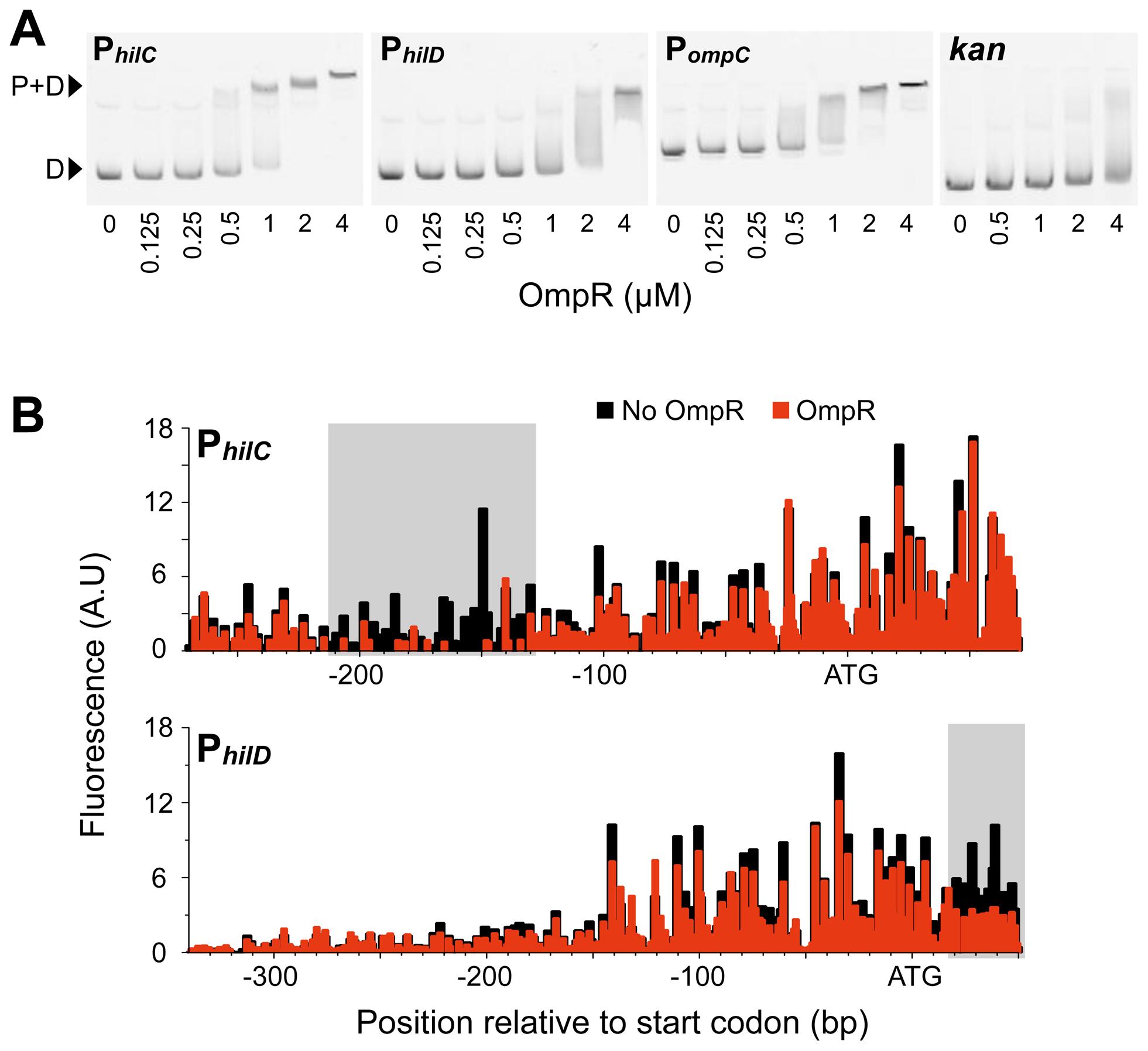 OmpR binding to SPI-1 gene promoters.