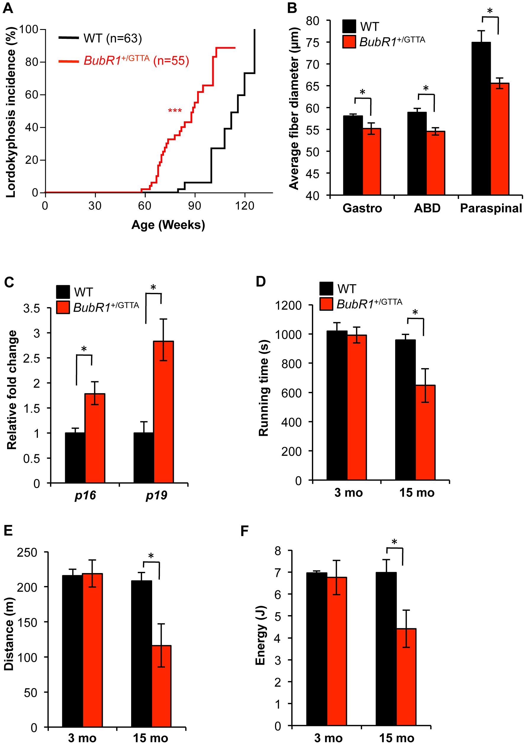 Accelerated deterioration of skeletal muscle in <i>BubR1</i><sup>+/GTTA</sup> mice.