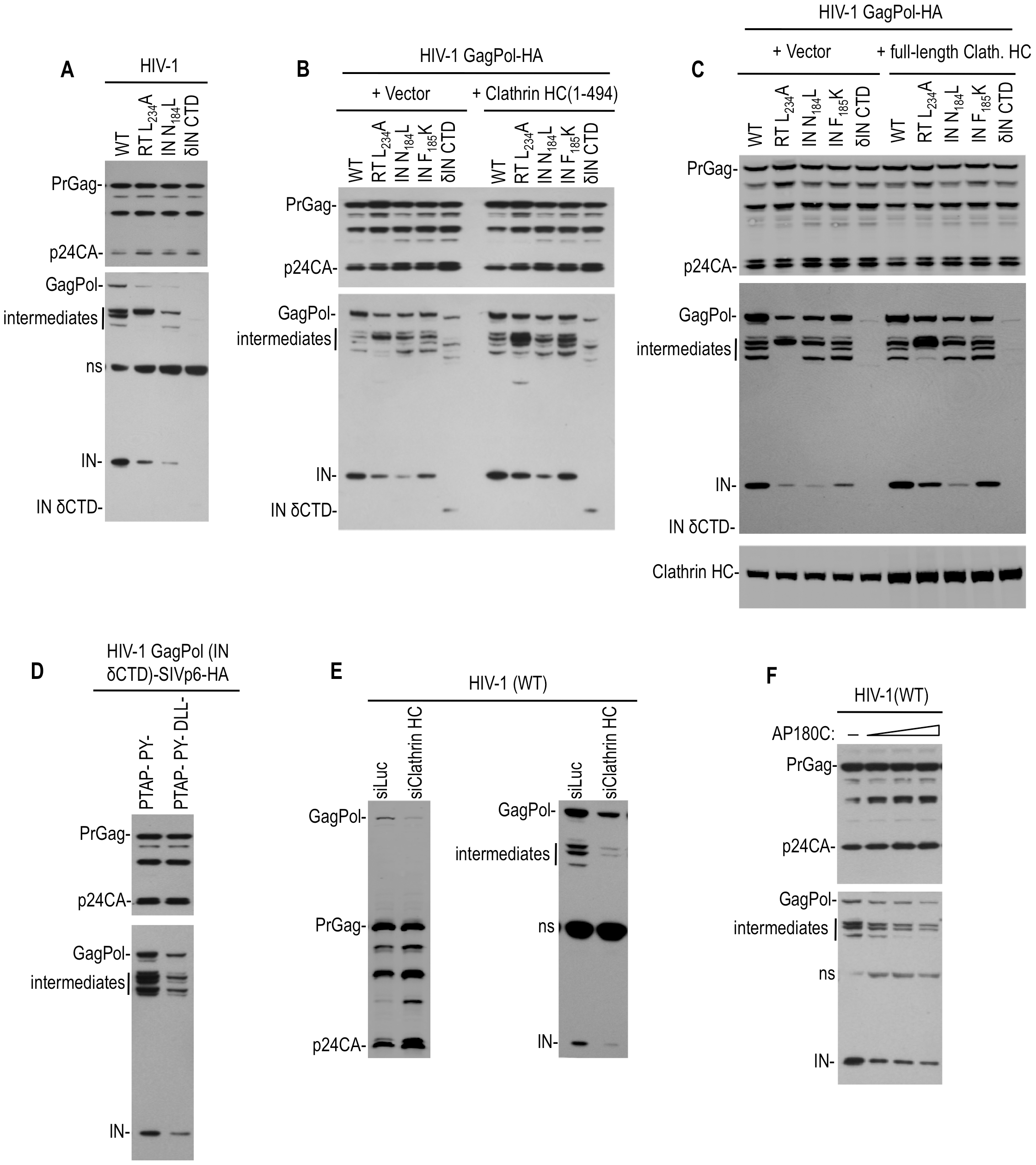 Effect of Pol mutations and clathrin on HIV-1 Pol expression.