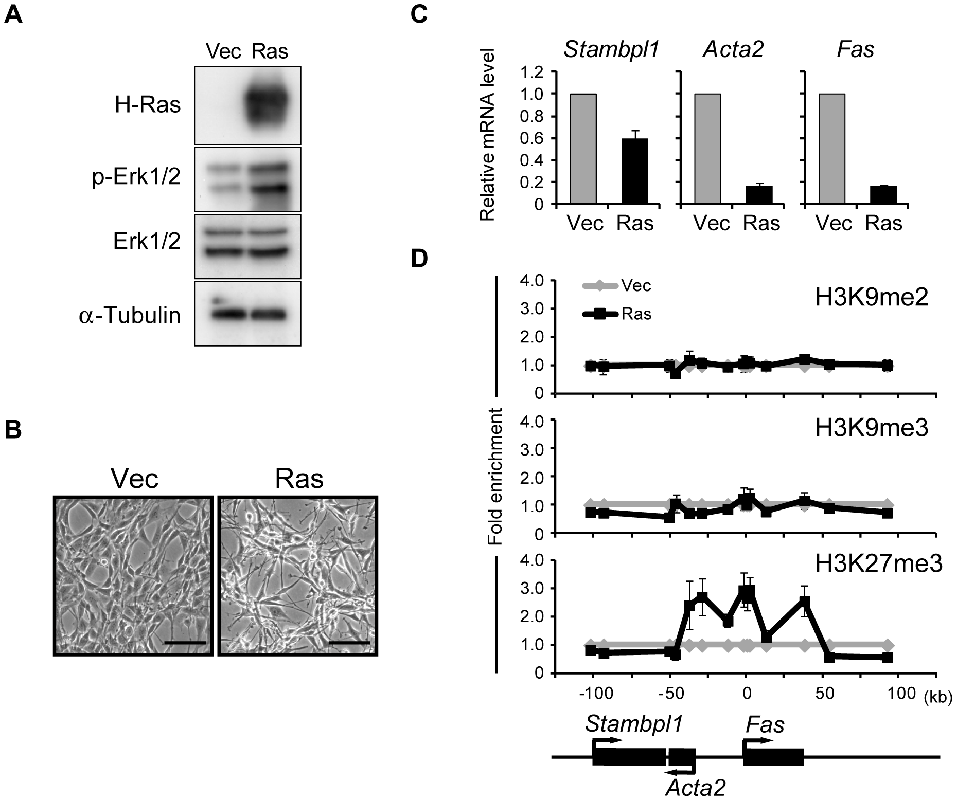 Activation of Ras signaling increases H3K27me3 abundance at the <i>Fas</i> locus in NIH 3T3 cells.