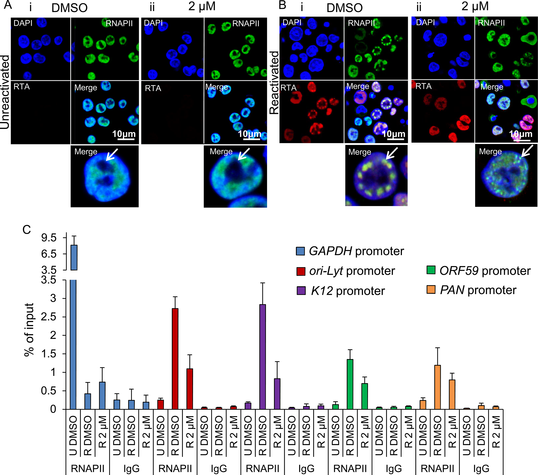 Inhibition of Hsp70 isoforms curtailed RNAPII relocation to KSHV RTCs.