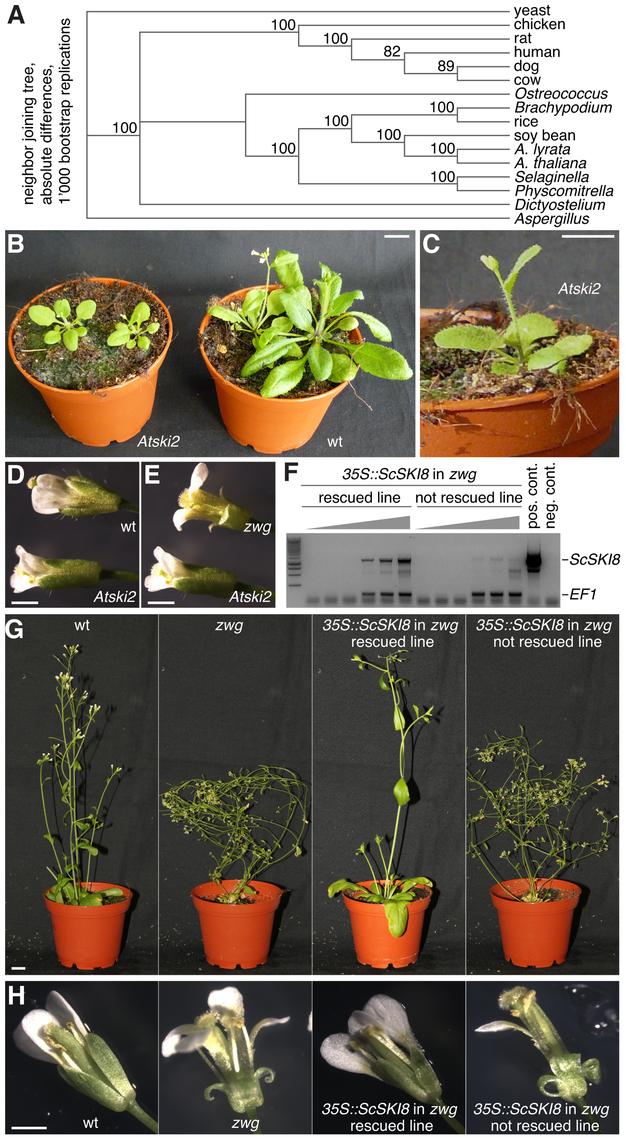 Phenotypes of the <i>Atski2</i> mutant and <i>vip3<sup>zwg</sup></i> rescued by transgenic ScSki8 expression.
