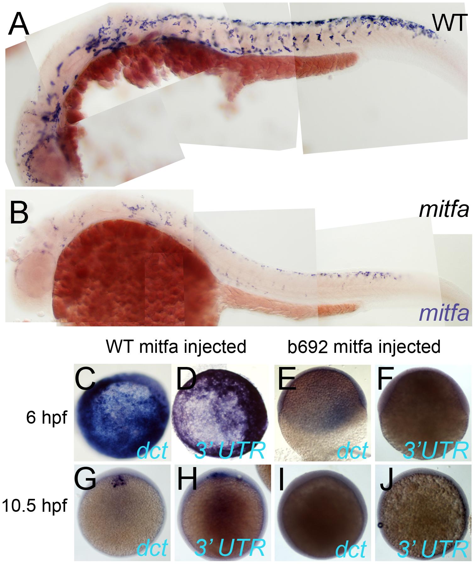 Mitfa-dependent maintenance of <i>mitfa</i> expression.