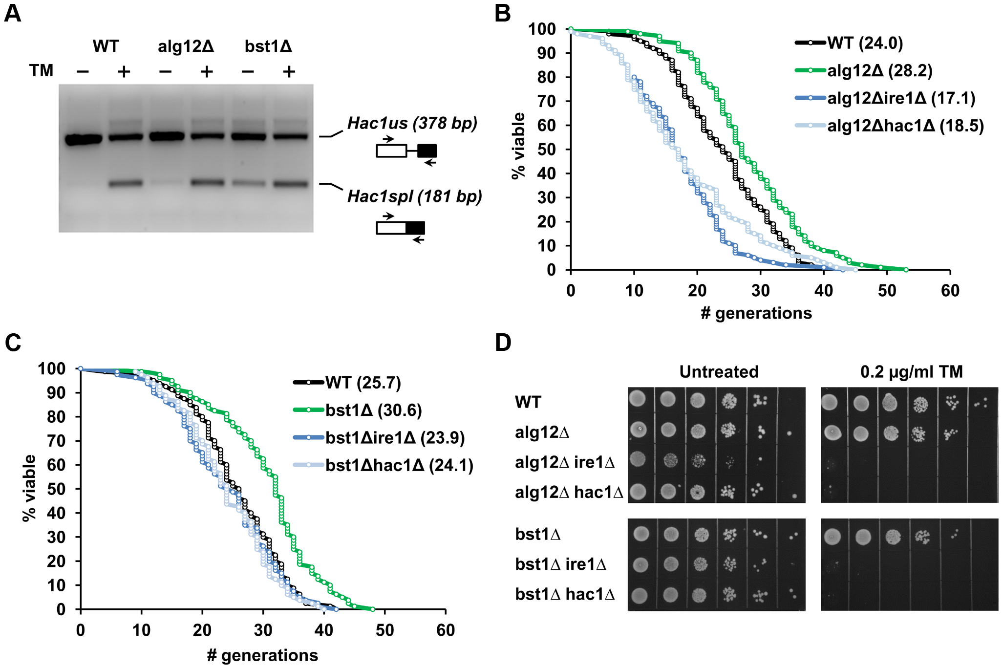 Extended lifespan in <i>alg12Δ</i> and <i>bst1Δ</i> mutants is dependent on functional Ire1p and Hac1p and is associated with increased basal UPR activity.