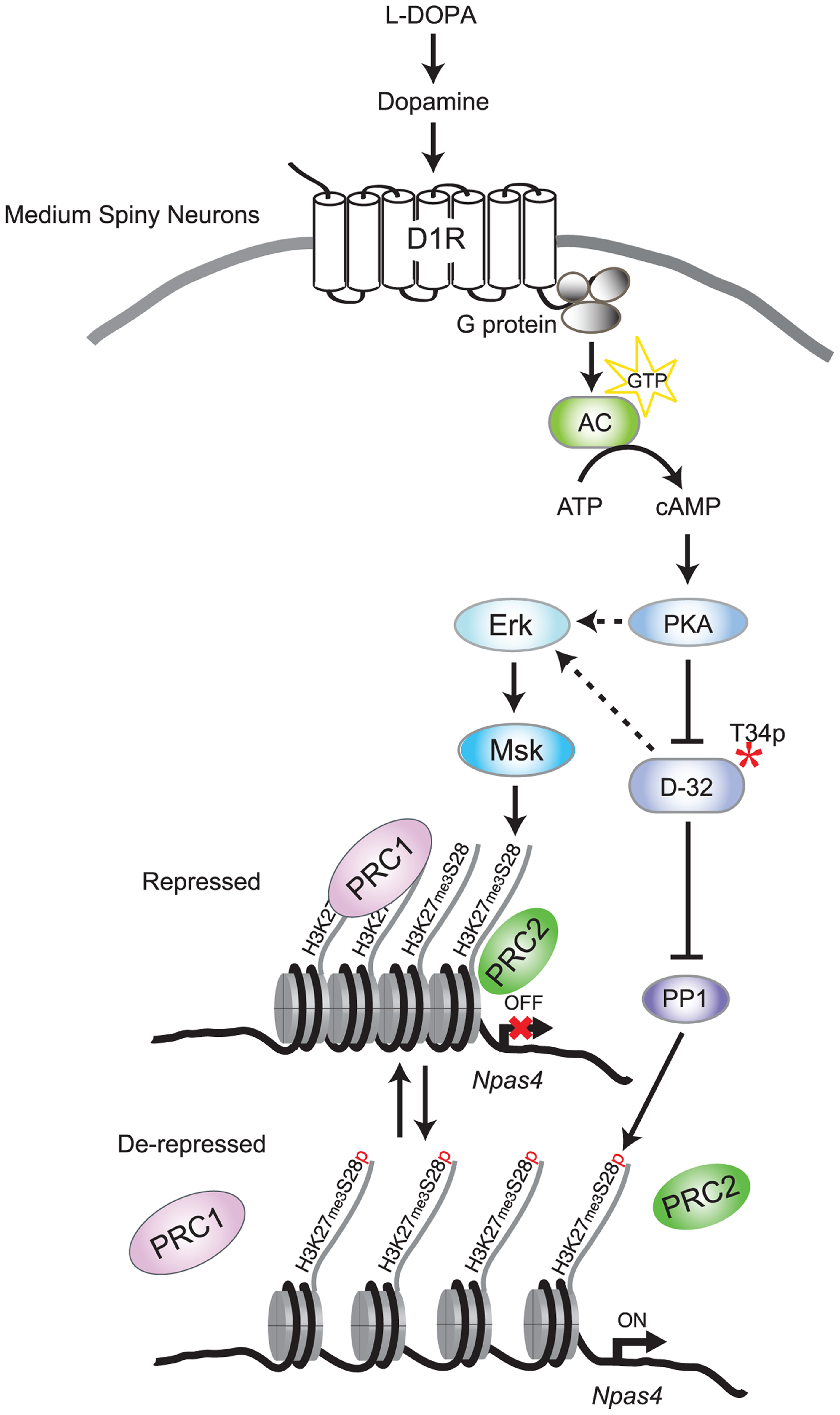 Model for L-DOPA induced signaling and H3K27me3S28 phosphorylation in MSNs of parkisonian mice.