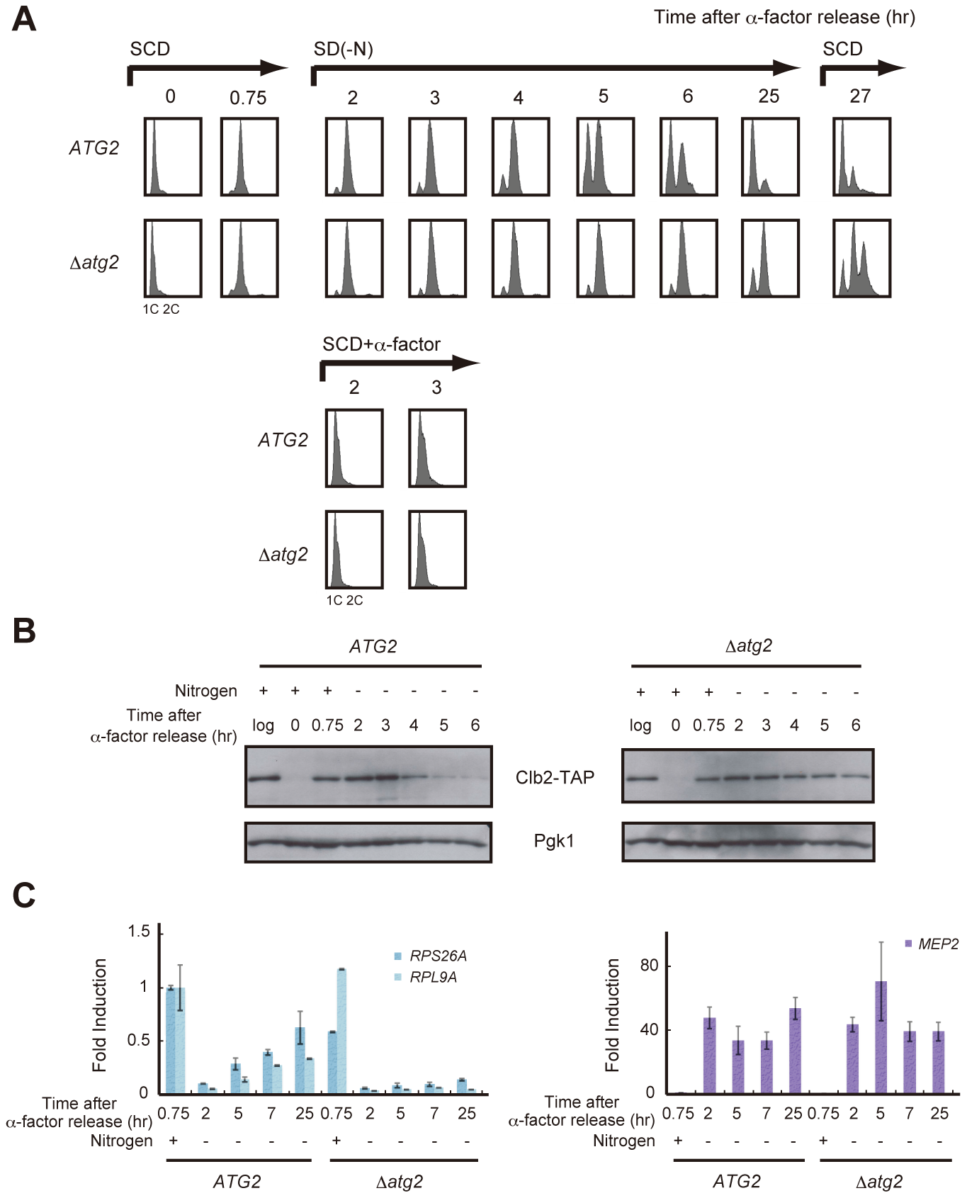 Autophagy is required for cell cycle progression during starvation.