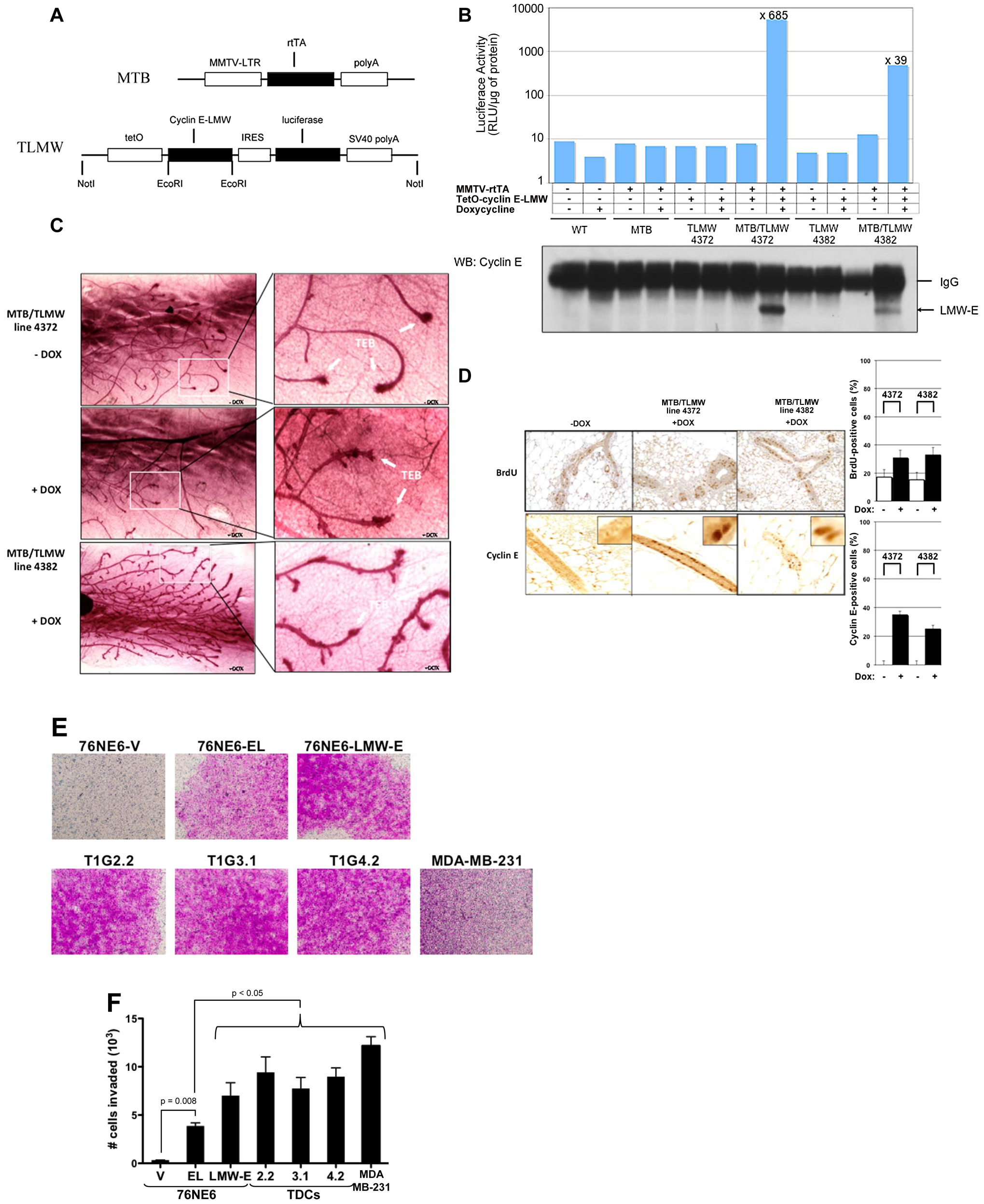 LMW-E induces ductal hyperplasia in vivo and invasion in Boyden chamber assays.