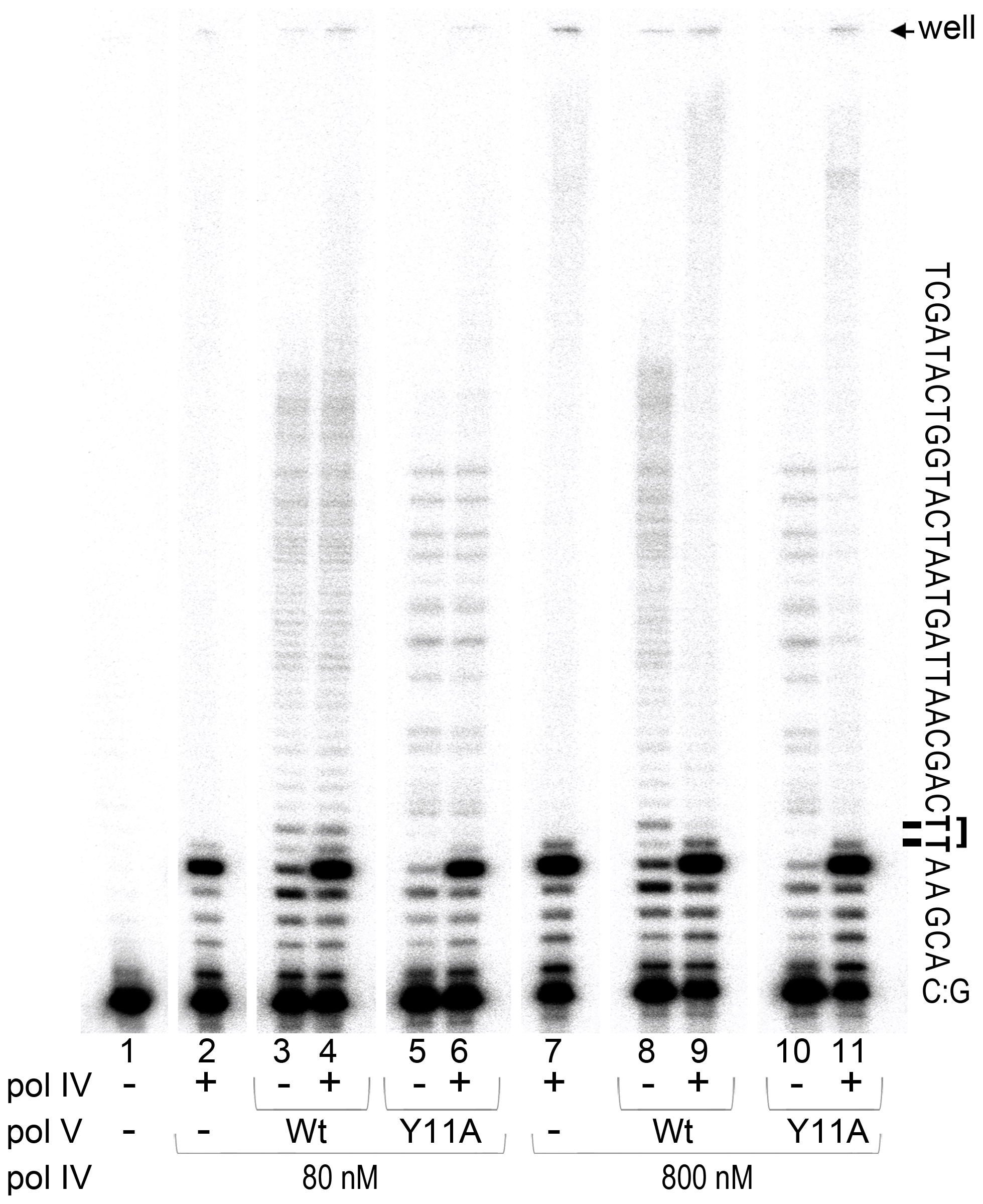 <i>In vitro</i> translesion synthesis past a TT-CPD lesion catalyzed by mixtures of pol IV and pol V.