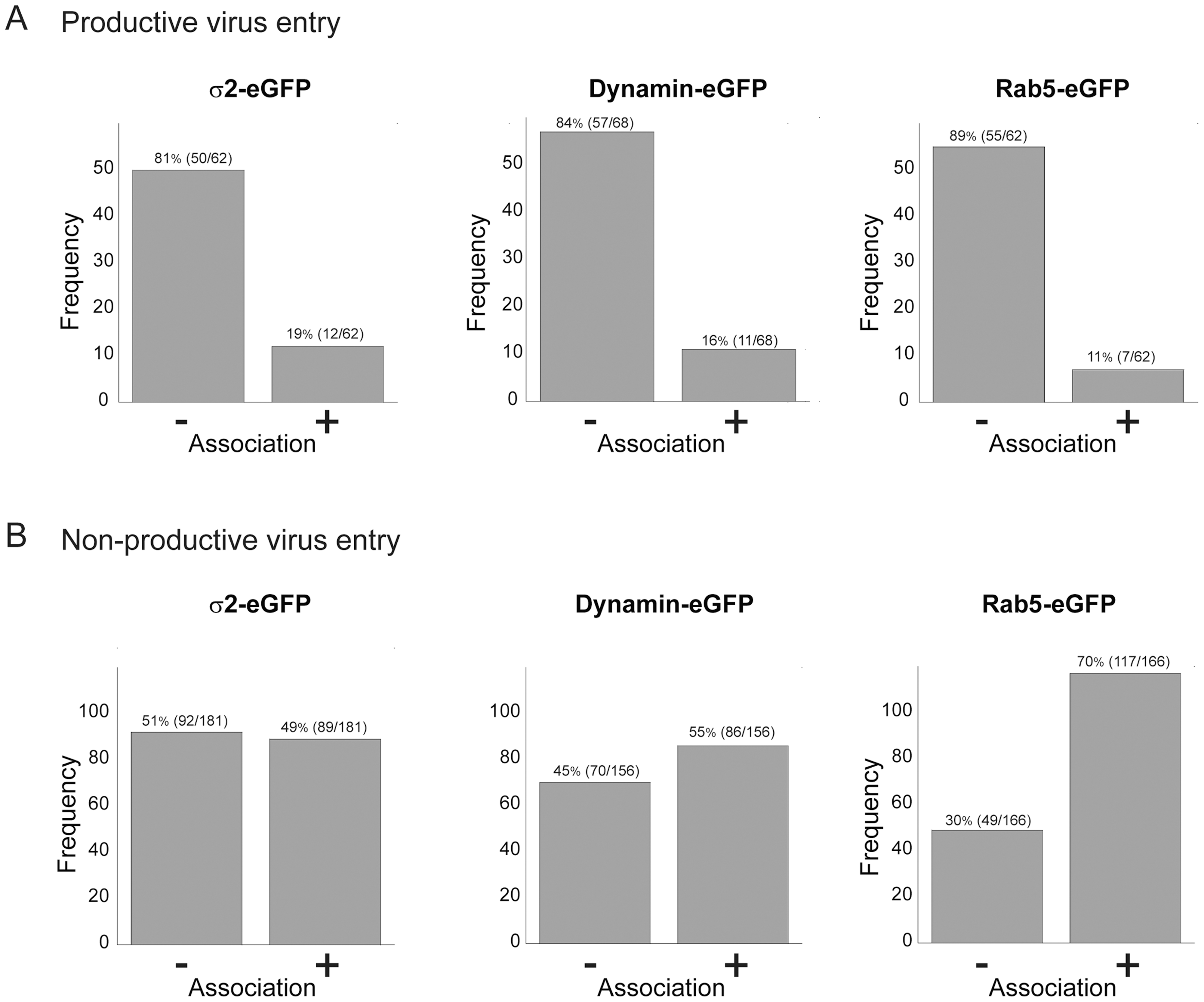 Association of productive (A) and non-productive (B) particles with AP-2 clathrin adaptor, dynamin, and Rab5.