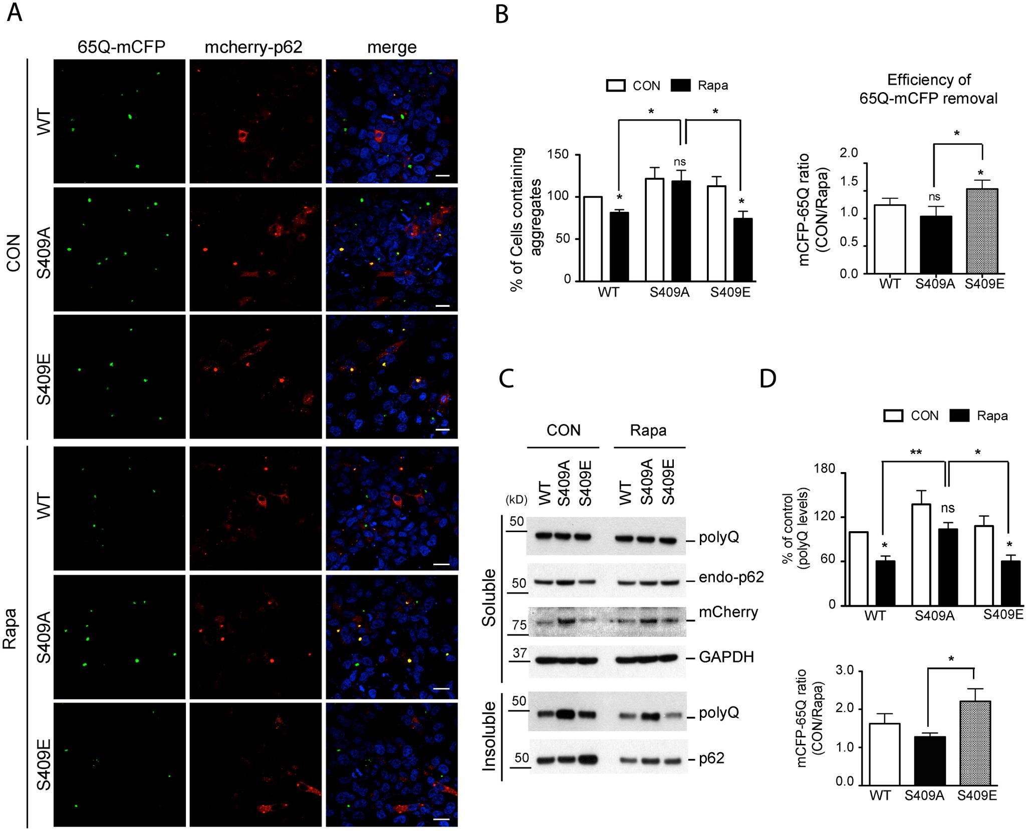 Phosphorylation of p62 at S409 enhances the autophagic degradation of polyQ-Htt mutant proteins.