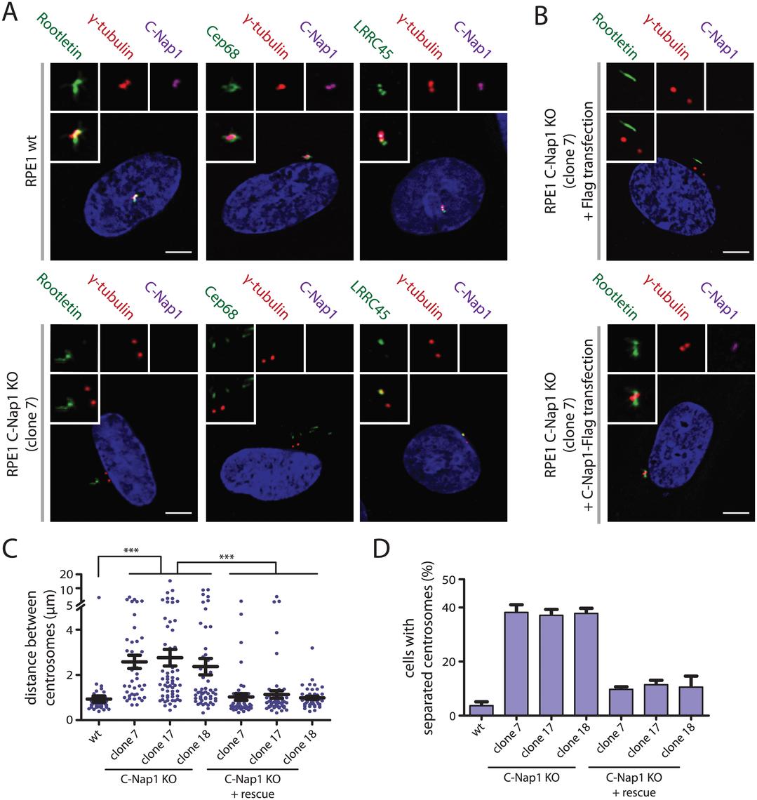Centrosomes of RPE1 C-Nap1 KO cells lack a centrosomal linker, yet they are kept relatively close together.