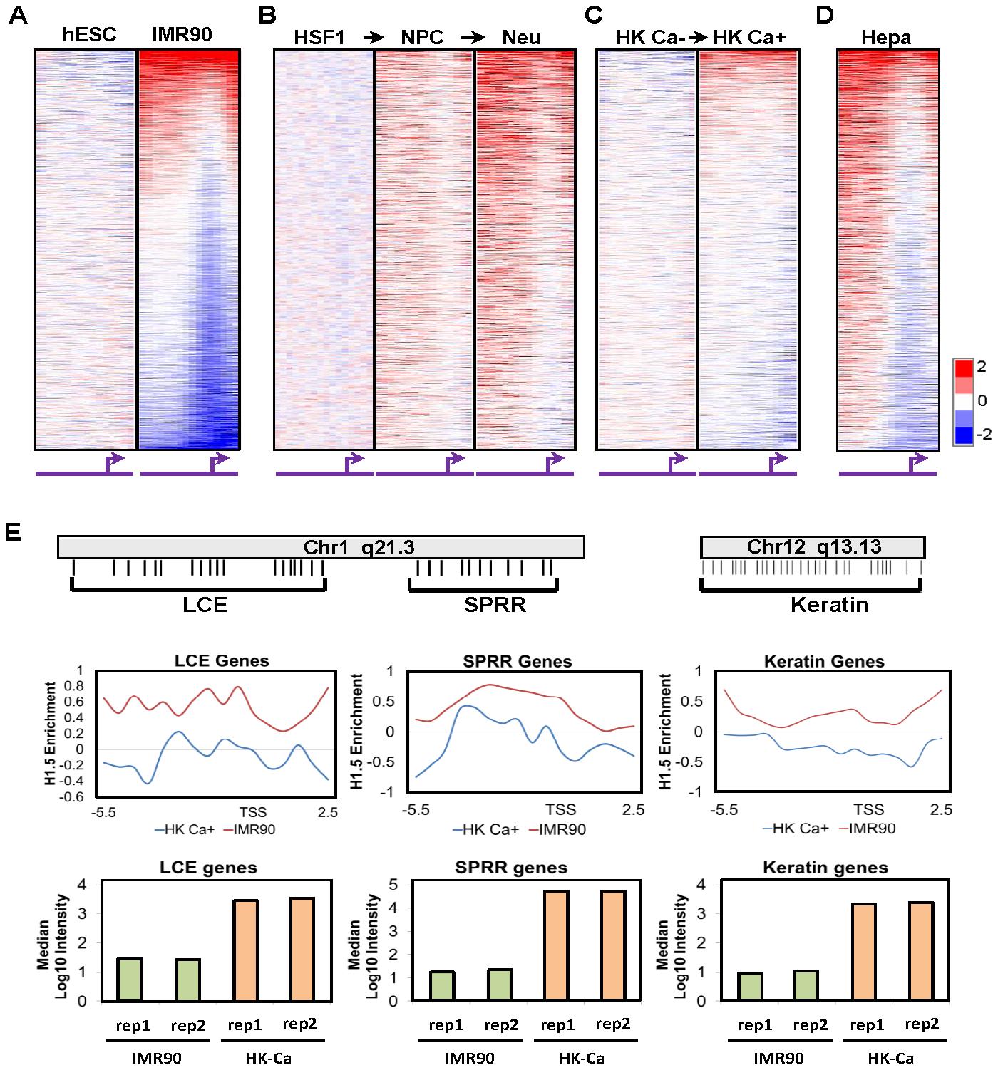 H1.5 distribution is established during cellular differentiation.