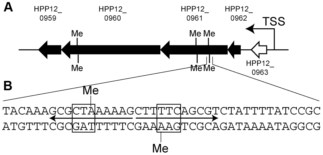 Gene cluster with transcripts decreased by specific Type I methylation.