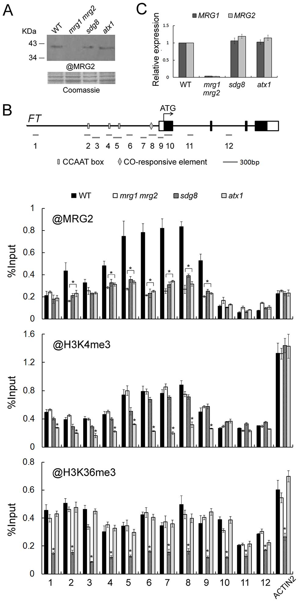MRG2 binds the chromatin at the <i>FT</i> promoter.