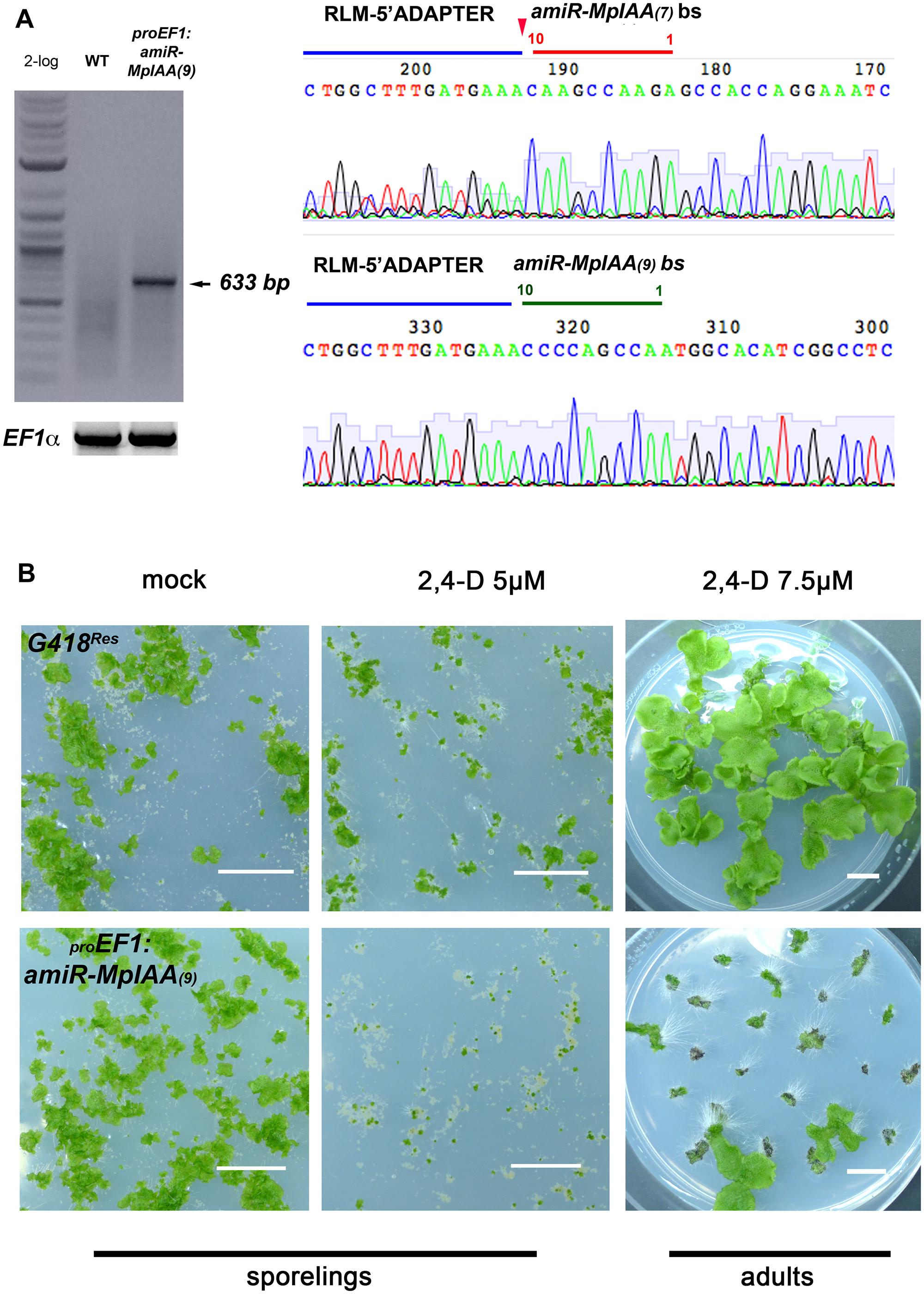 <i>MpIAA</i> represses auxin signaling in <i>M</i>. <i>polymorpha</i>.