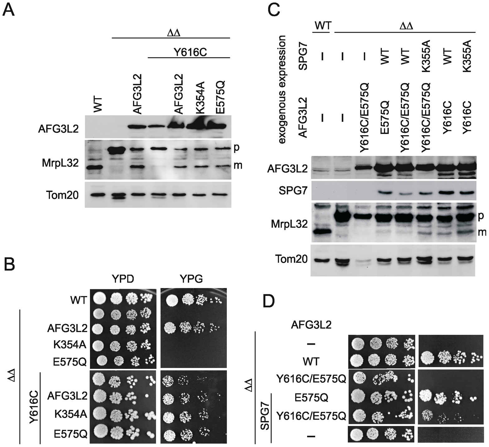 MrpL32 maturation and yeast complementation assays for the evaluation of AFG3L2<sup>Y616C</sup> activity.