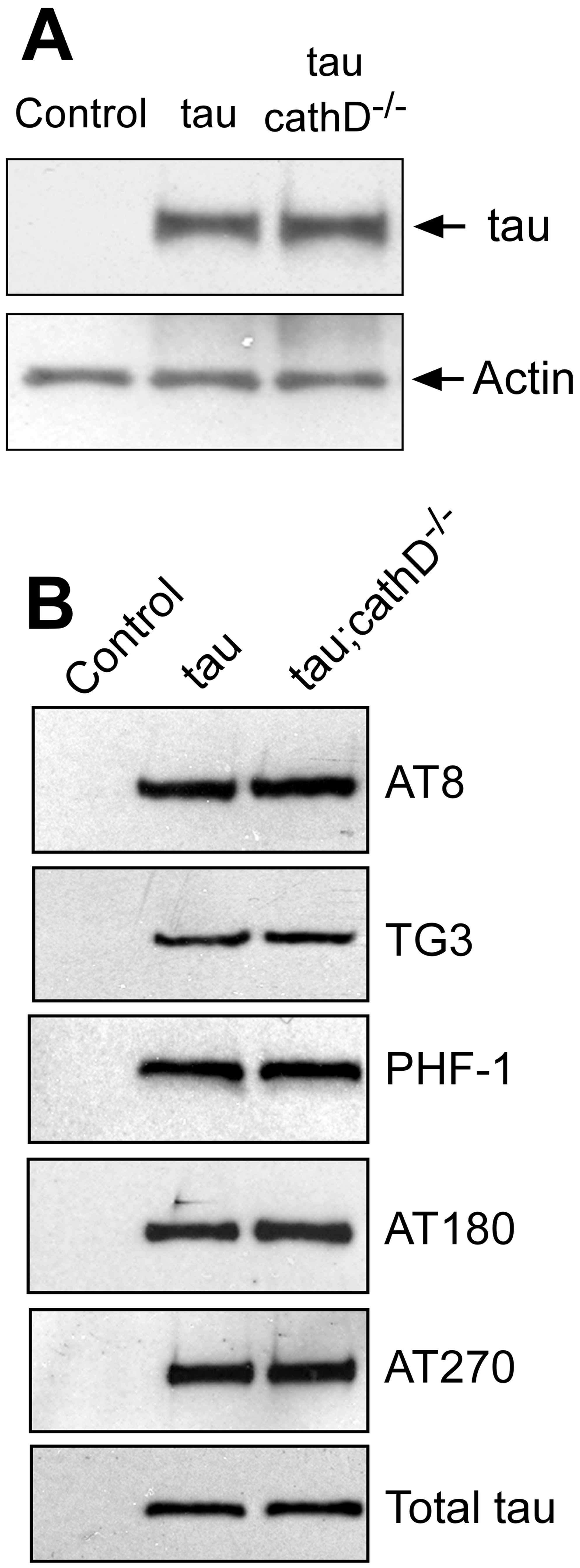 Removing cathepsin D does not substantially alter levels of tau.
