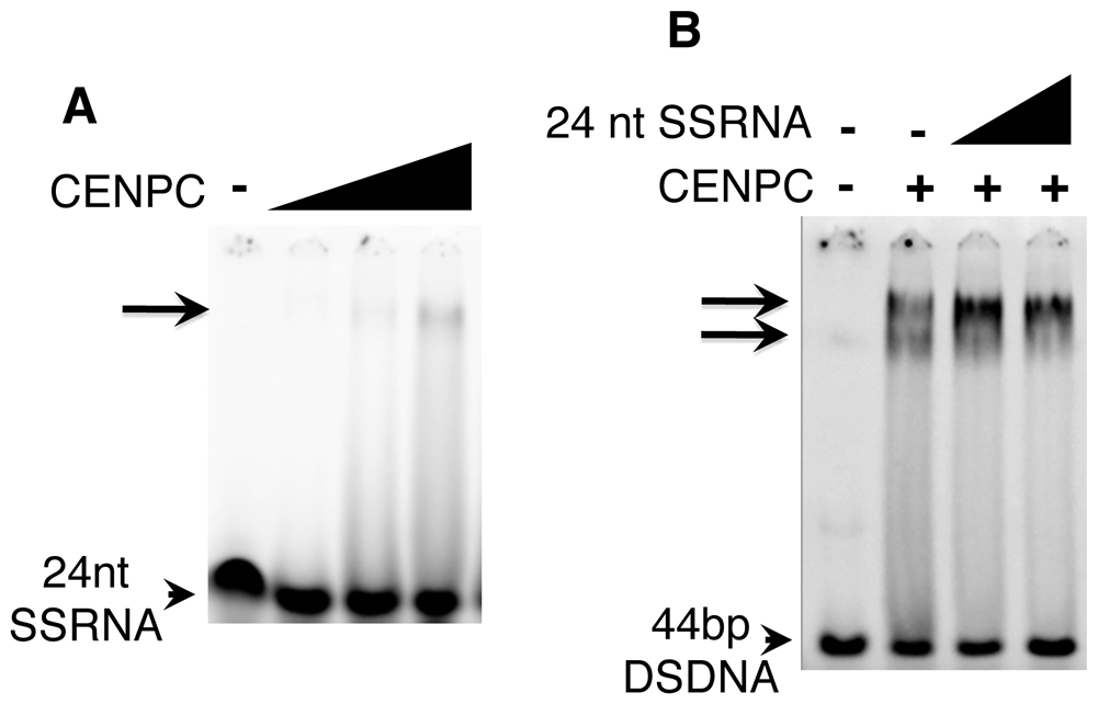 SSRNA causes a supershift of the CENPC/DNA complex.