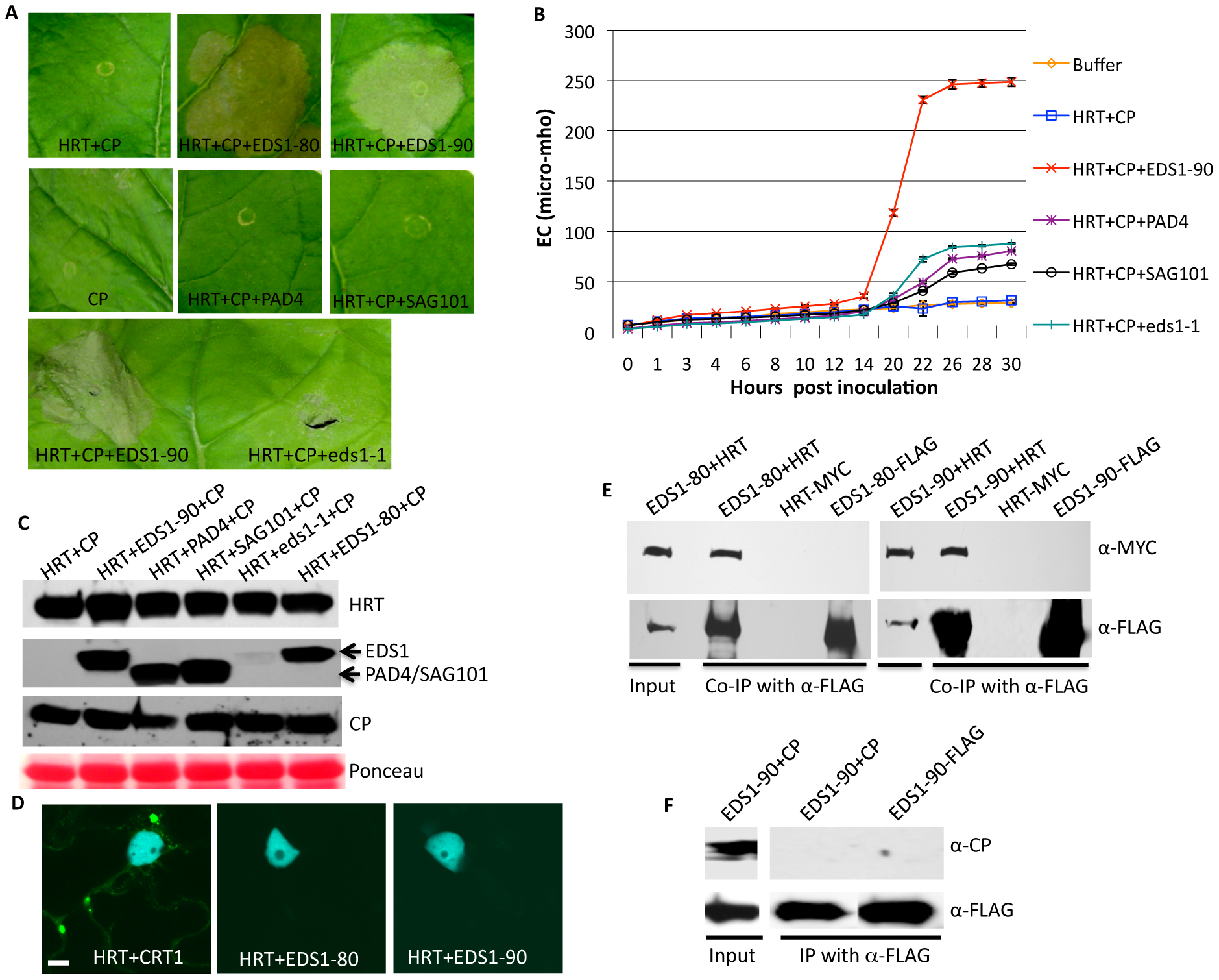 EDS1 interacts with HRT and promotes HRT-mediated cell death.