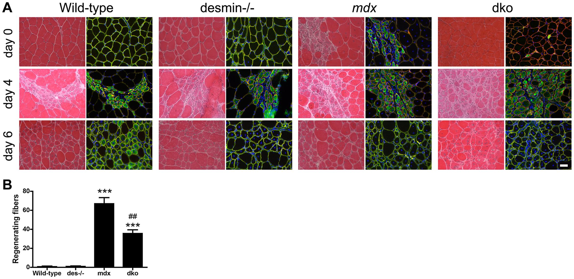 Regenerative capacity of muscle.