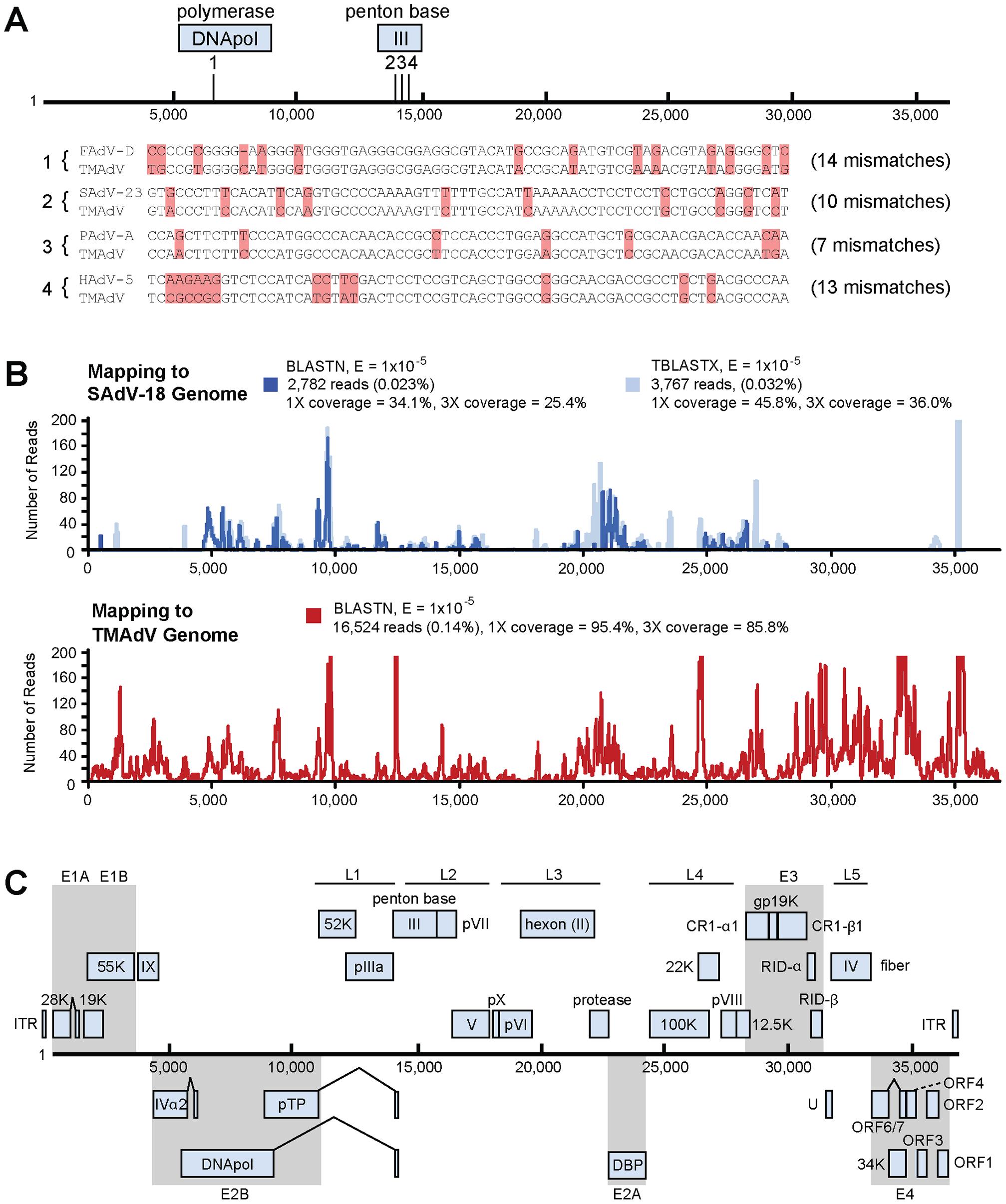 Discovery and whole-genome characterization of the novel adenovirus TMAdV.