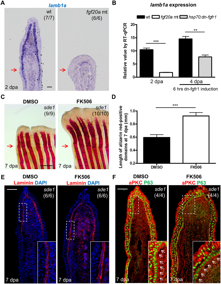 Association of <i>lamb1a</i> expression and function with key regeneration effector pathways.