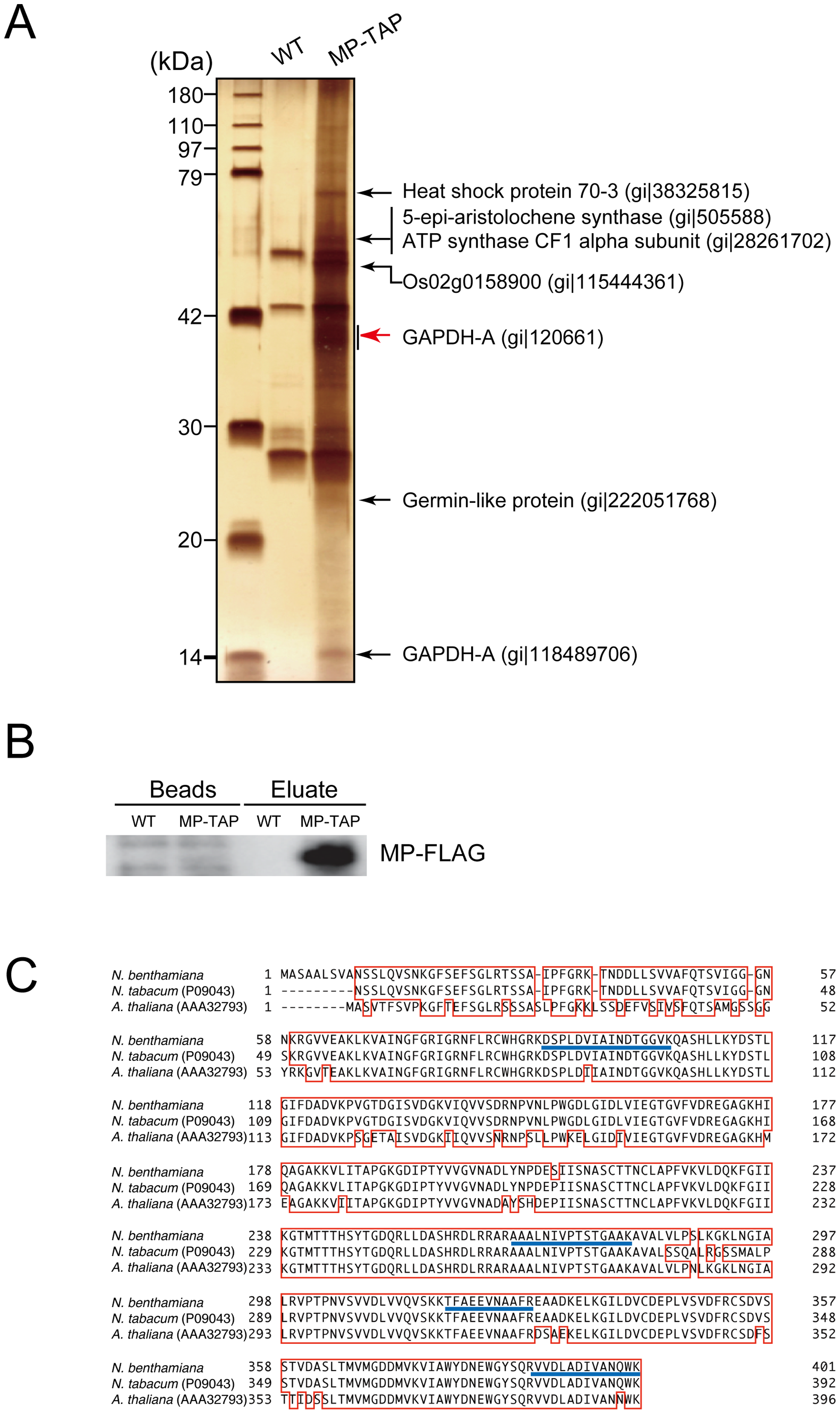 Identification of proteins that were copurified with RCNMV MP.