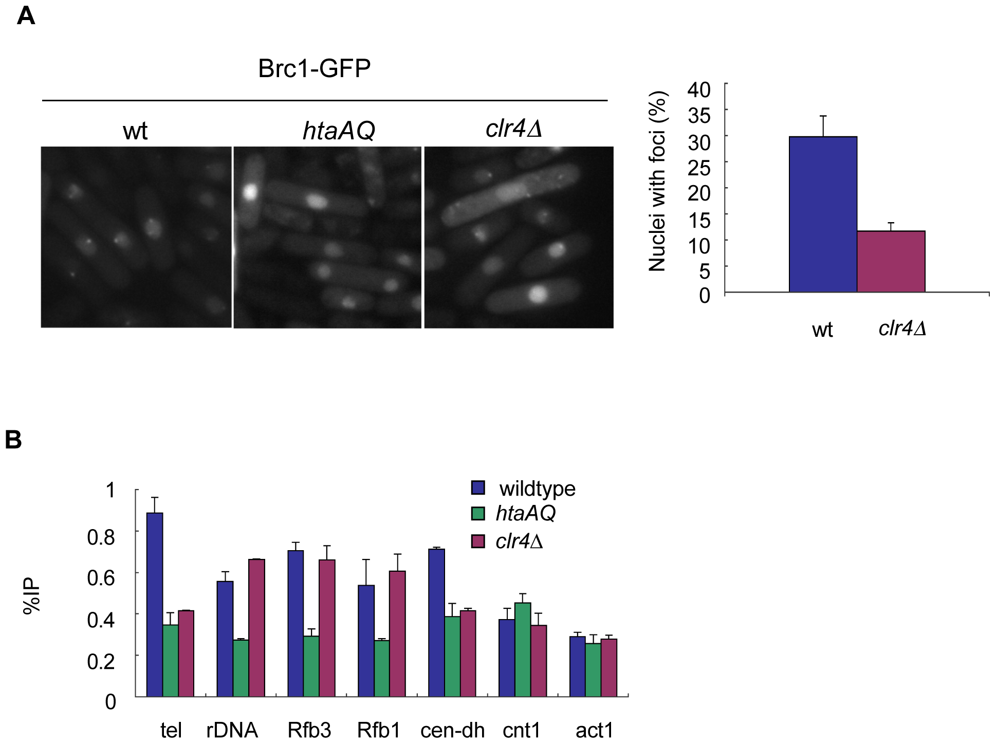 Brc1 recruitment to γH2A sites is partially dependent on Clr4.