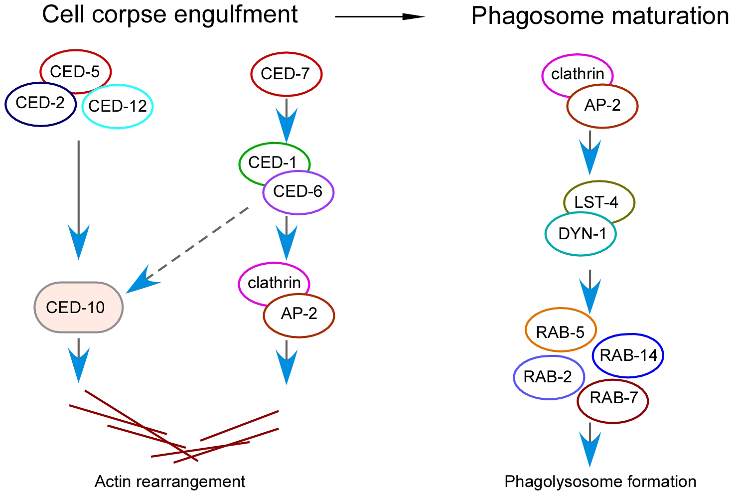 Schematic summary of the role of clathrin and the AP2 complex in both corpse engulfment and phagosome maturation during phagocytosis of apoptotic cells.