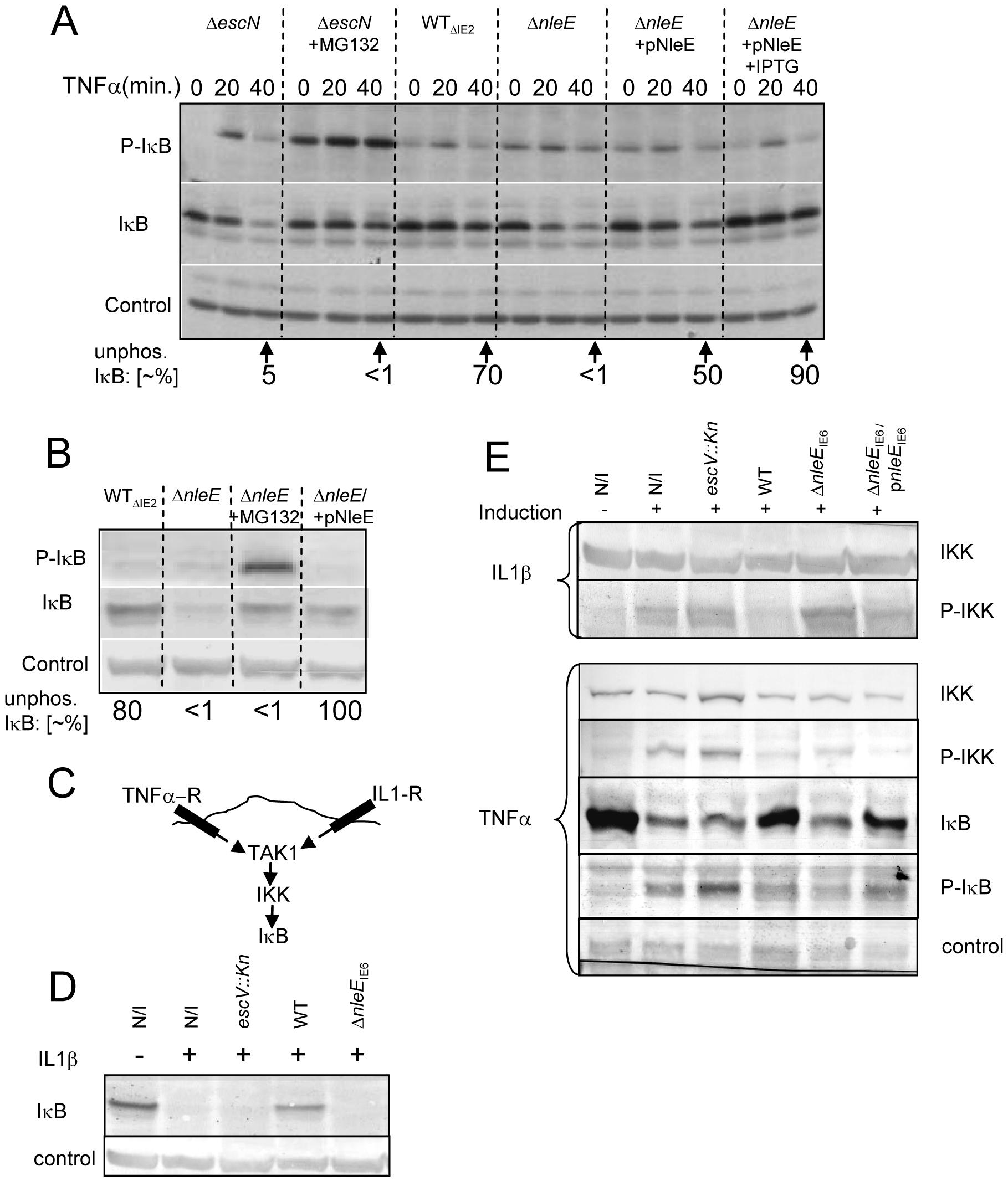 NleE inhibits IκB and IKKβ phosphorylation.
