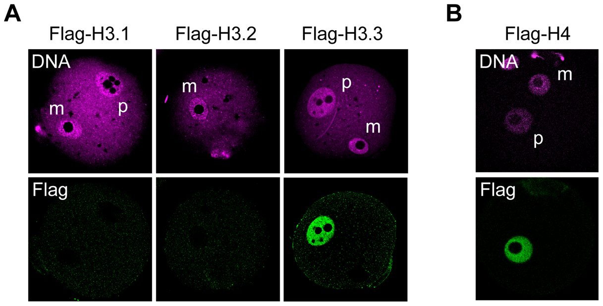 Incorporation of H3 variants and H4 into nuclei at an early stage after fertilization.