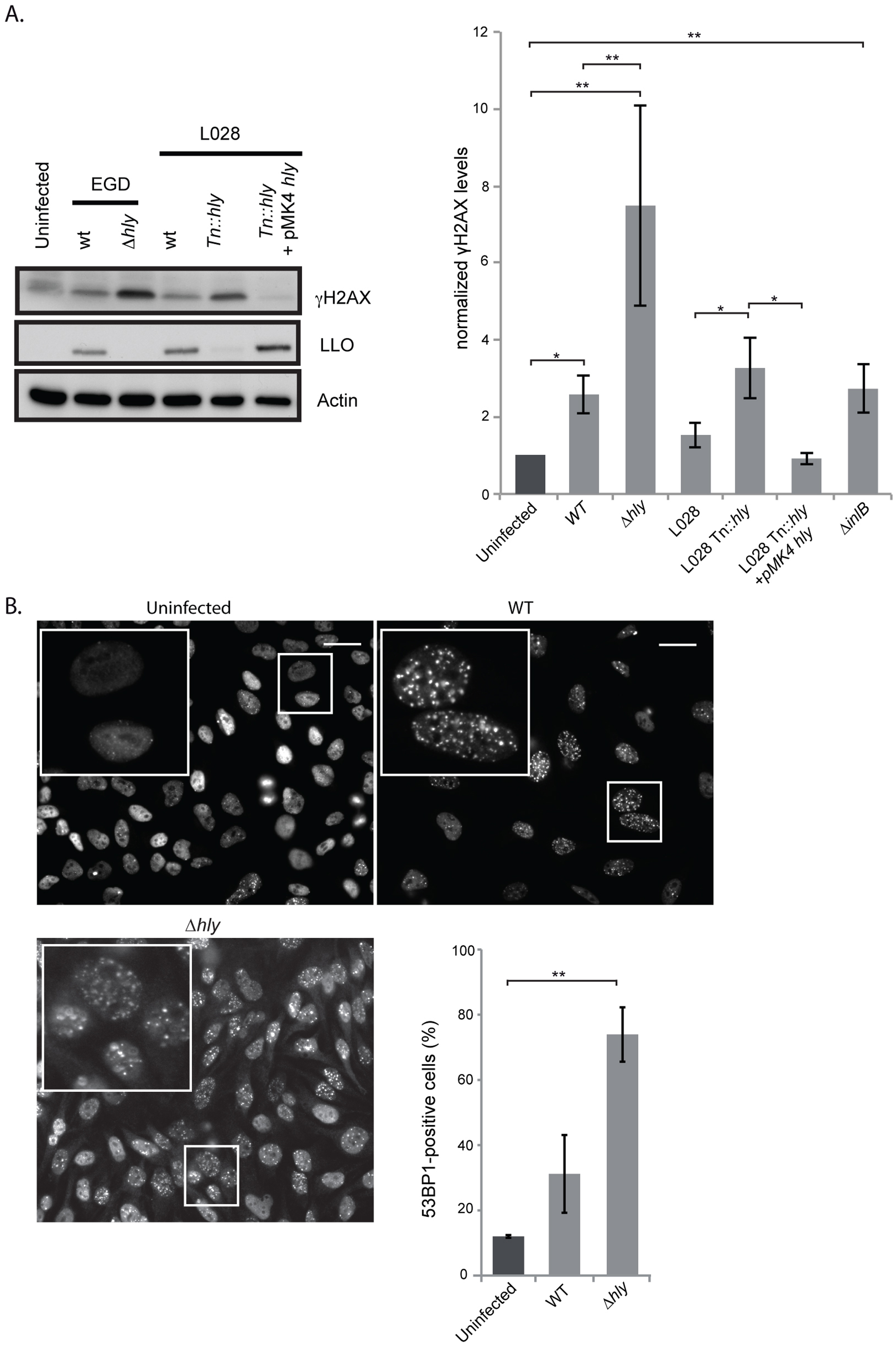 A <i>Δhly</i> mutant induces a higher DNA damage response than wild type <i>Listeria</i>.