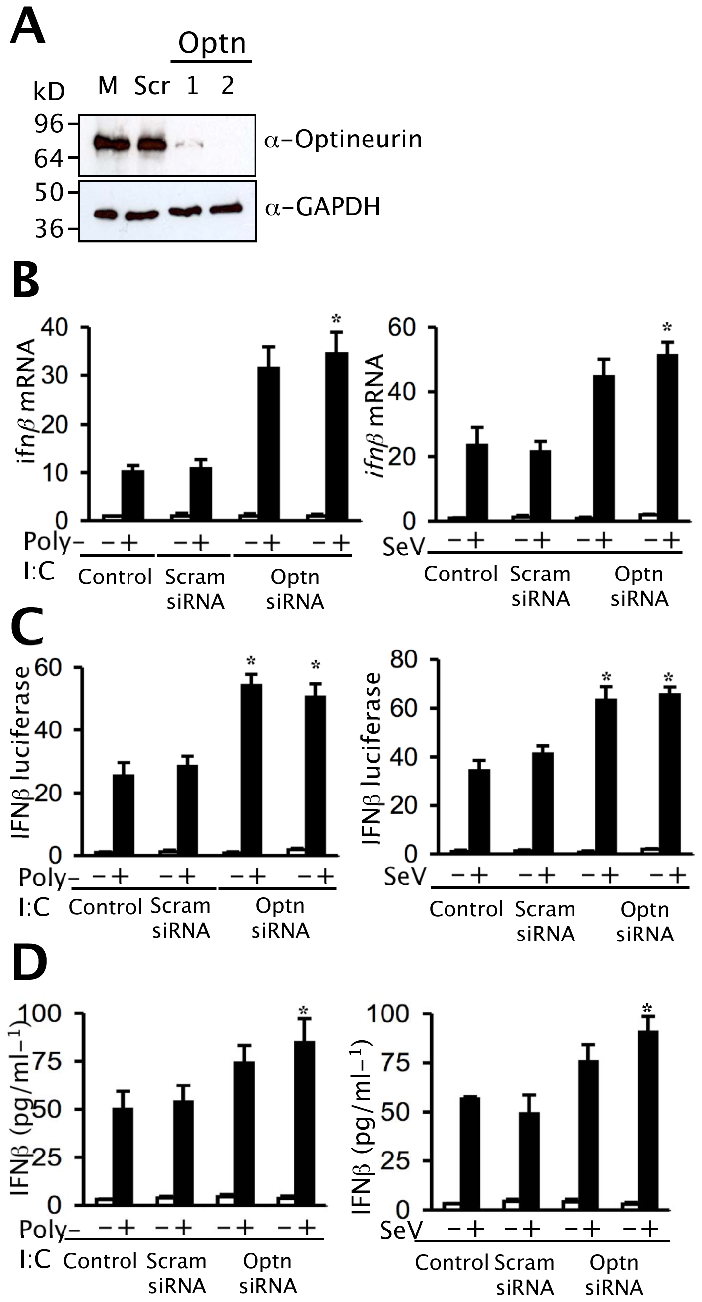 Depletion of optineurin enhances the induction of <i>ifnβ</i>.