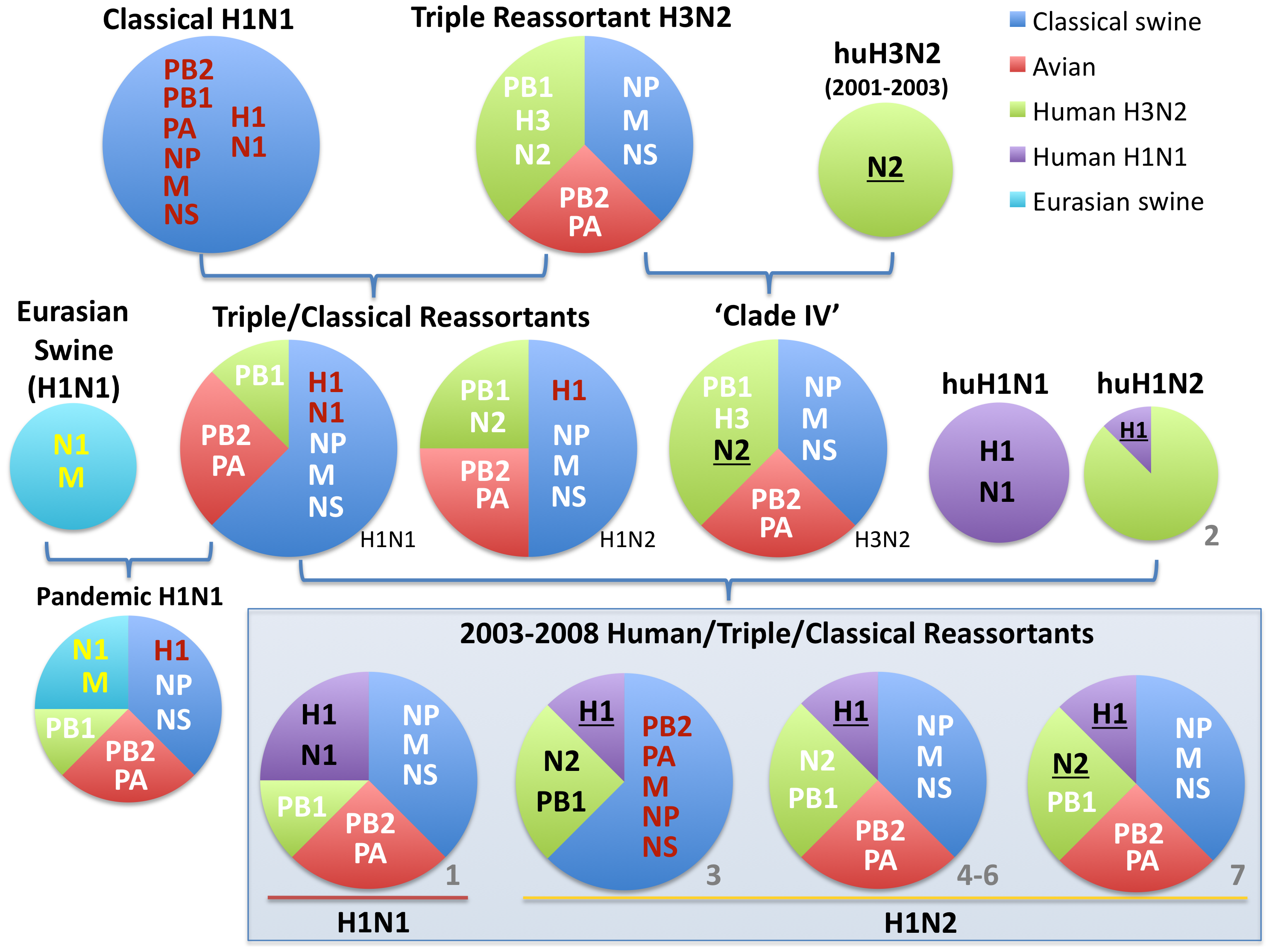 Evolutionary origins of H1 swine influenza viruses in North America.