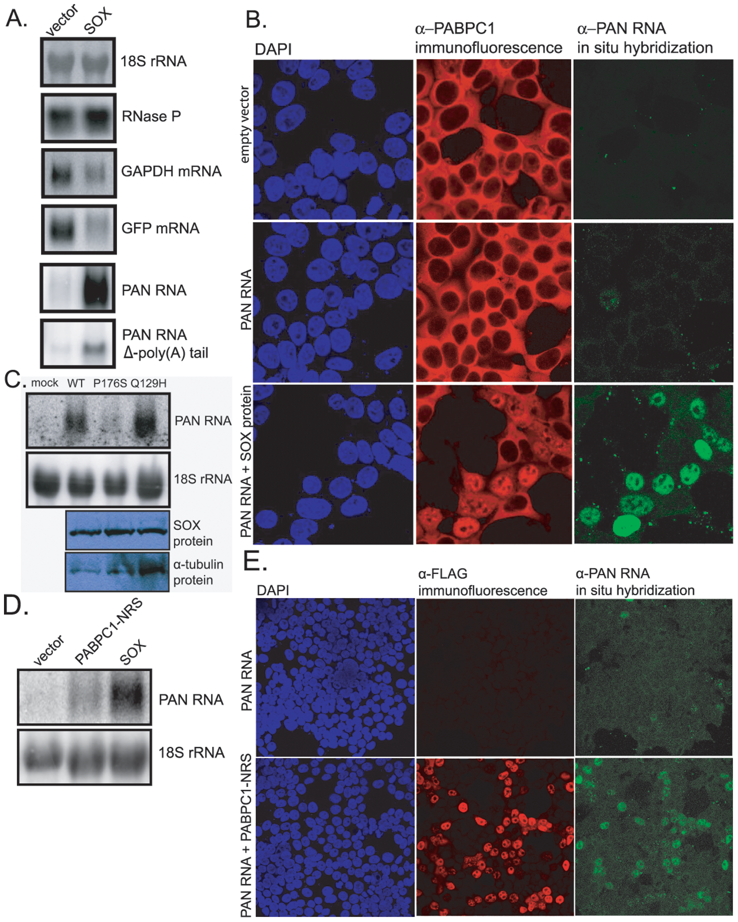 SOX stimulates PAN RNA expression in transient transfection assays.
